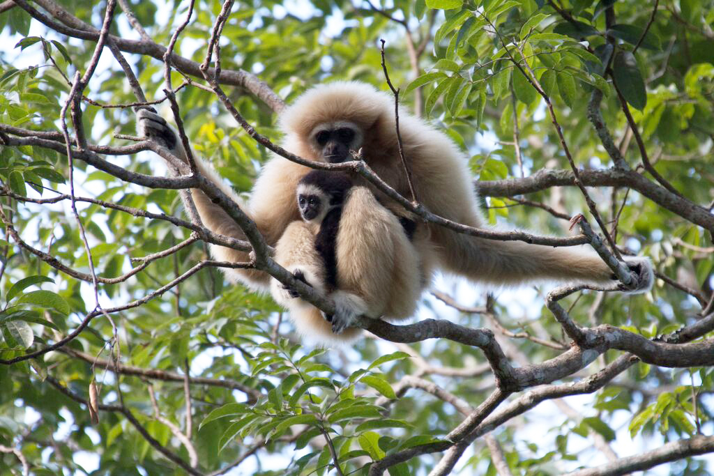 A family of gibbons, including this mother and child, swing in the branches high above you