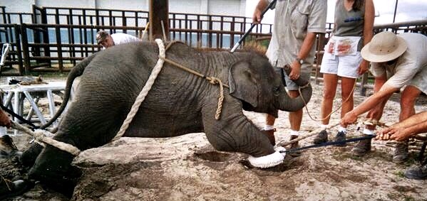 "This poor baby elephant is undergoing the torture known as ""the crush,"" or phajaan"