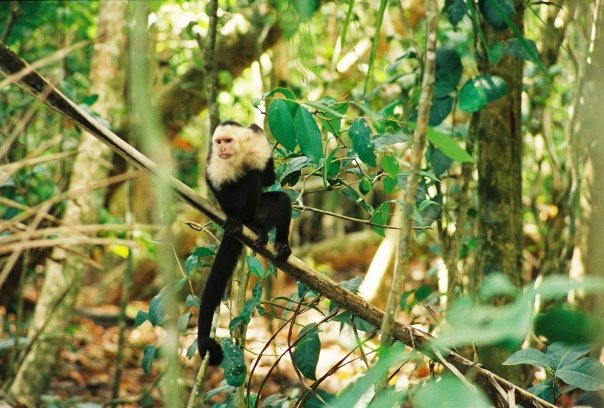 The Costa Rican capuchin monkey is ubiquitous and can be quite menacing at times, hissing, throwing things at you and trying to steal any food you might have