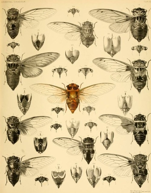 """Only the male cicada """"sings,"""" prompting the Ancient Greek poet Xenophon to quip: """"Blessed are the cicadas, for they have voiceless wives."""""""