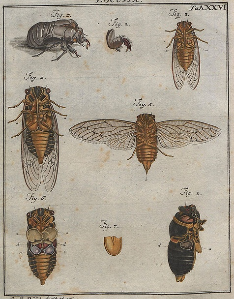 If you startle a cicada, it might emit a spray of piss, prompting Provençal peasants of the past to thread the insects on a string, hang them up to dry and then boil their bodies into a tisane to cure urinary tract ailments