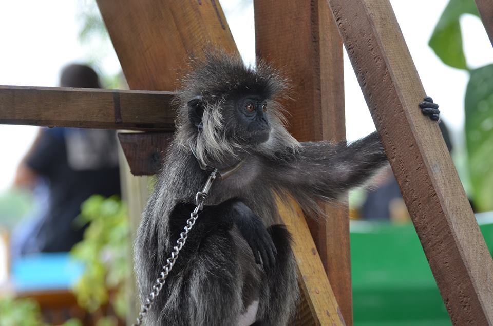 All of the animals at Chong Kneas are treated cruelly, including this monkey on a chain