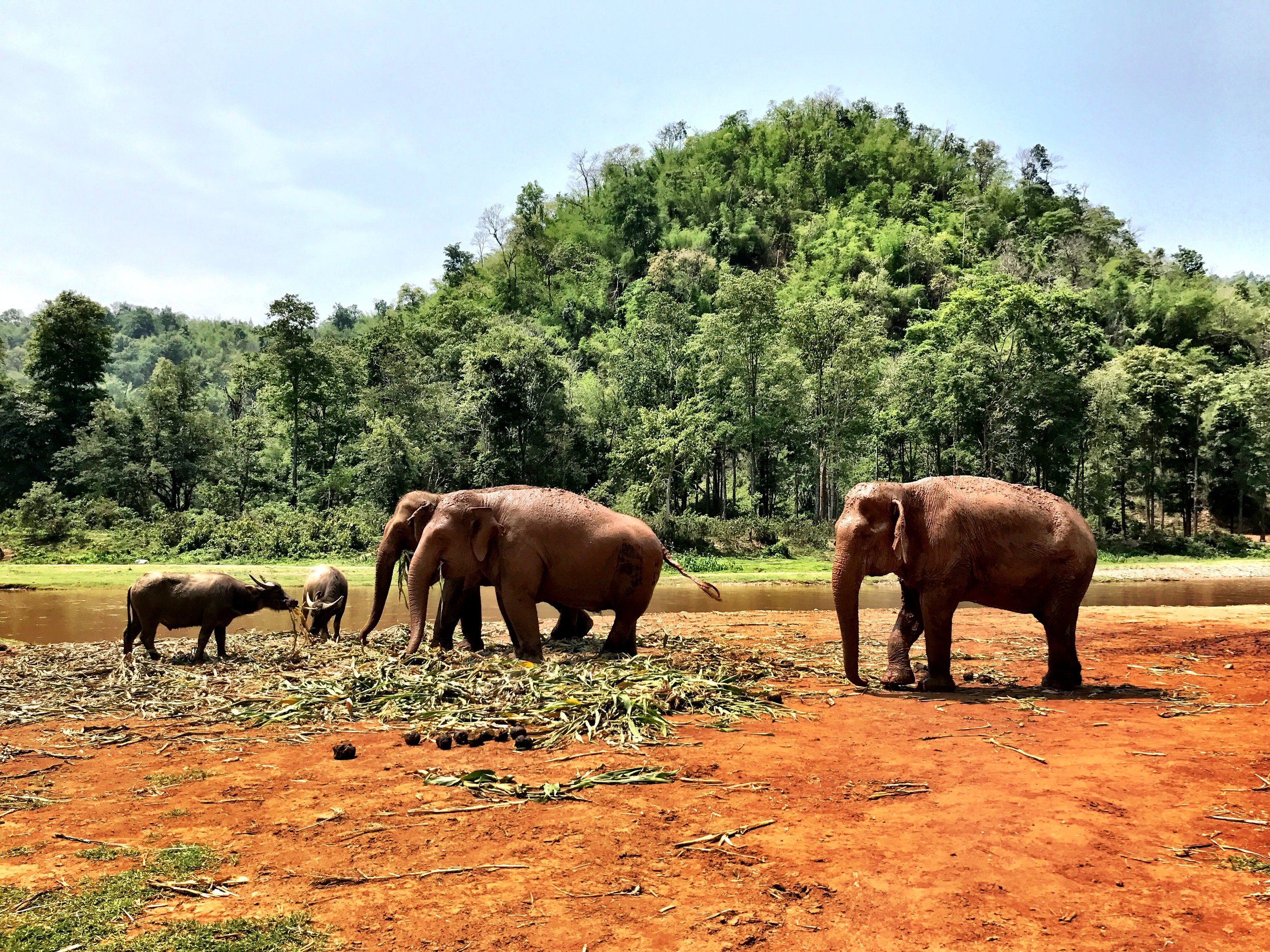 Water buffalo coexist with the elephants at the park, one of the highest-rated sanctuaries in Northern Thailand