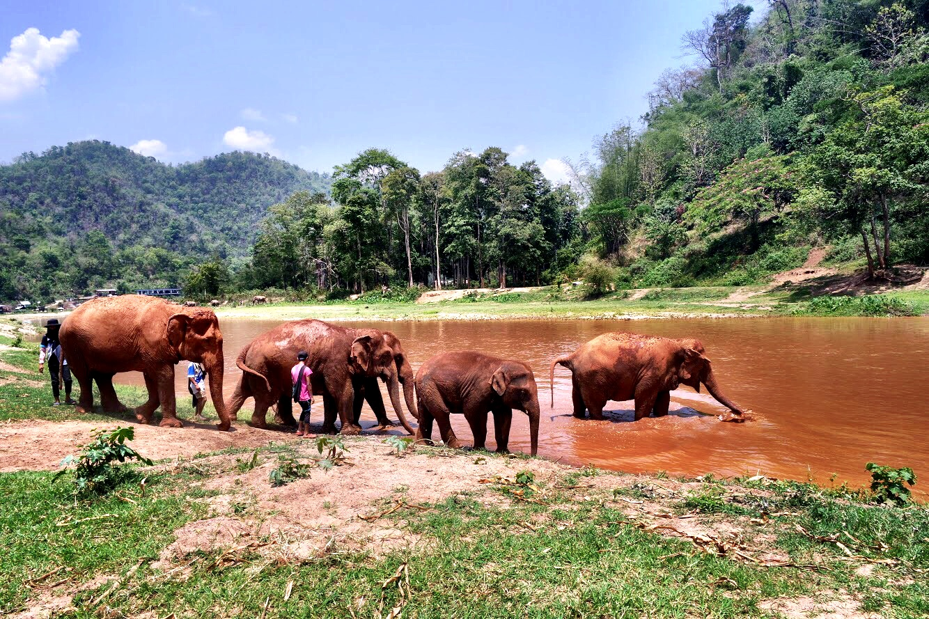 The elephants cool off in the water and use their trunks to spray themselves