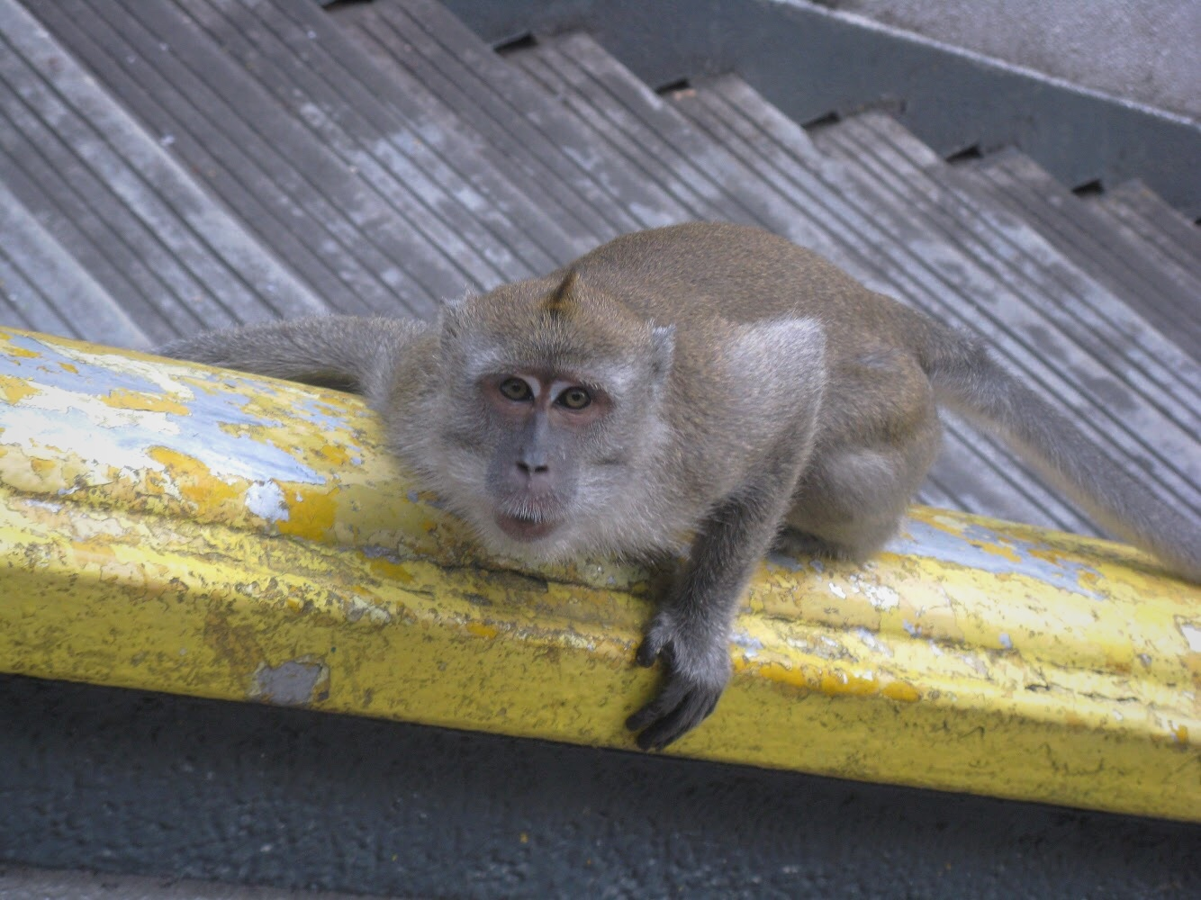 Wild macaque monkeys roam the grounds of the Batu Caves