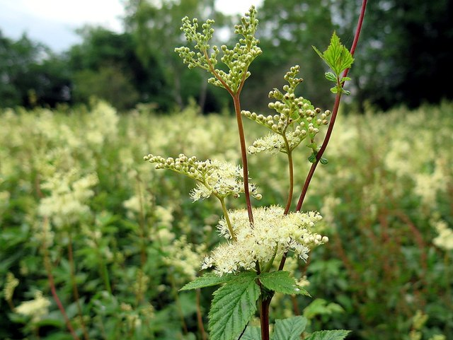 Use meadowsweet in spells for love and positivity — or to lure human-devouring pagan gods