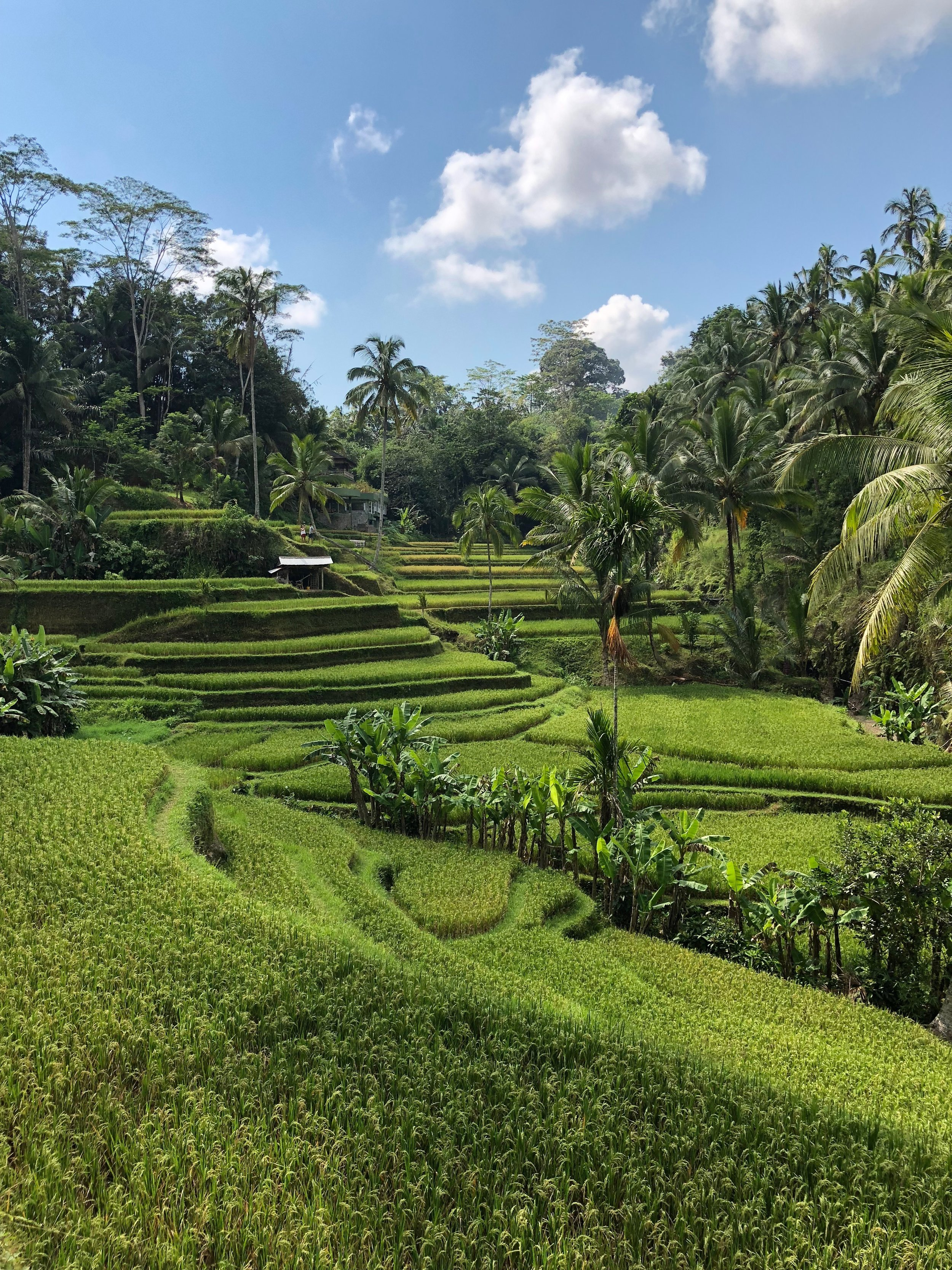 Even though you can't see them, there are paths to follow through the rice paddies