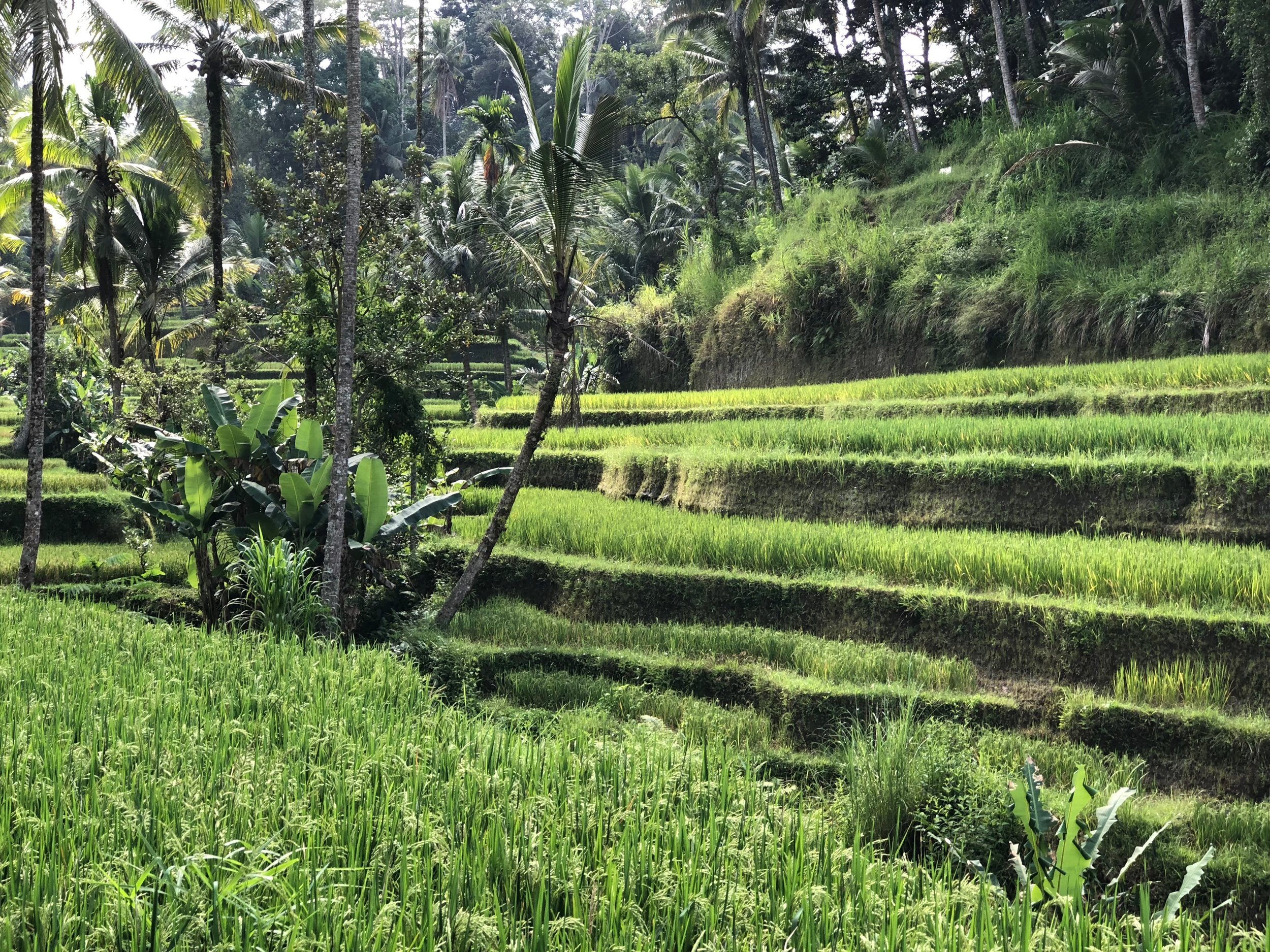 The undulating green hills are iconic of Bali