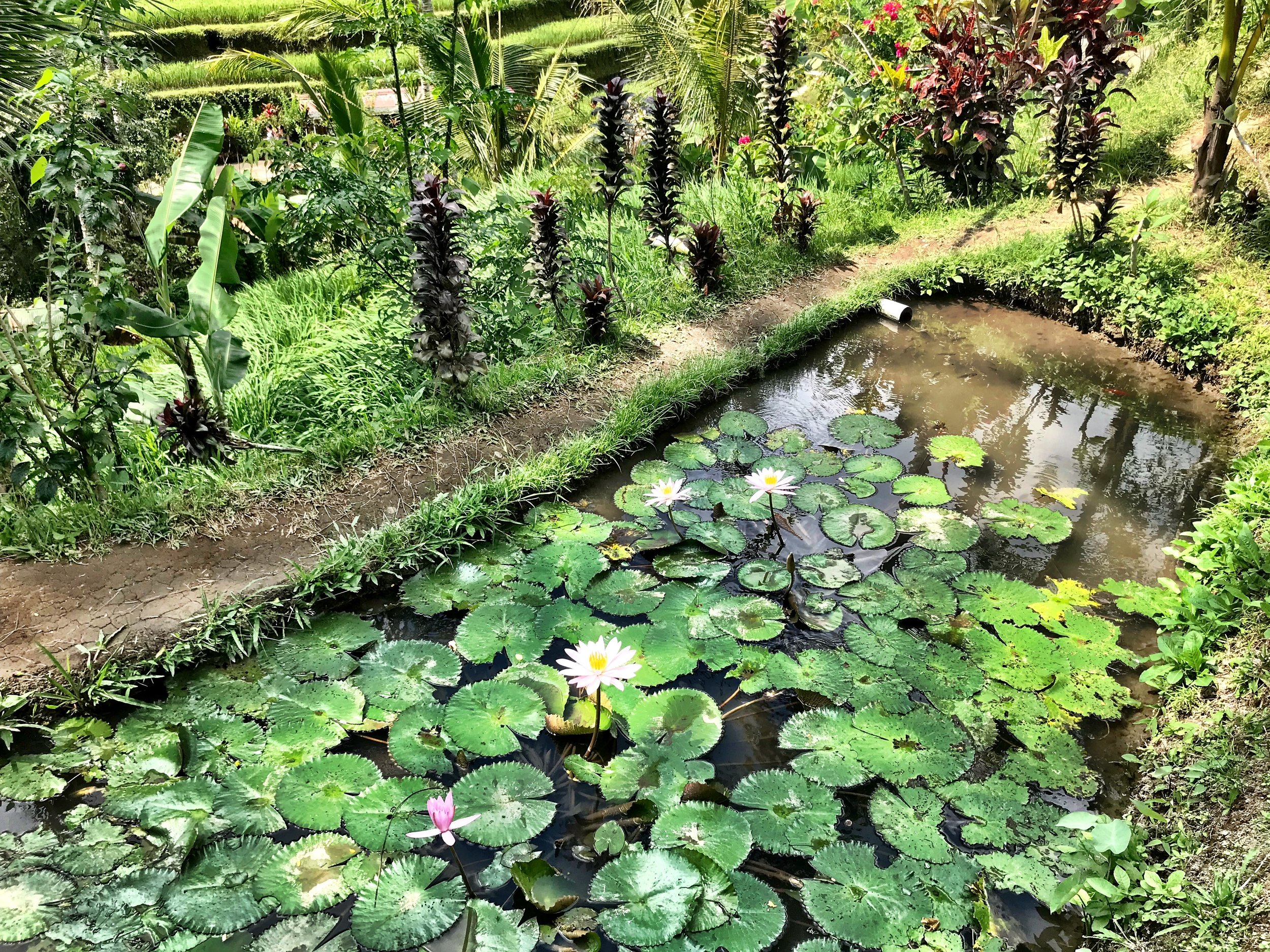 A lotus pond we stumbled upon
