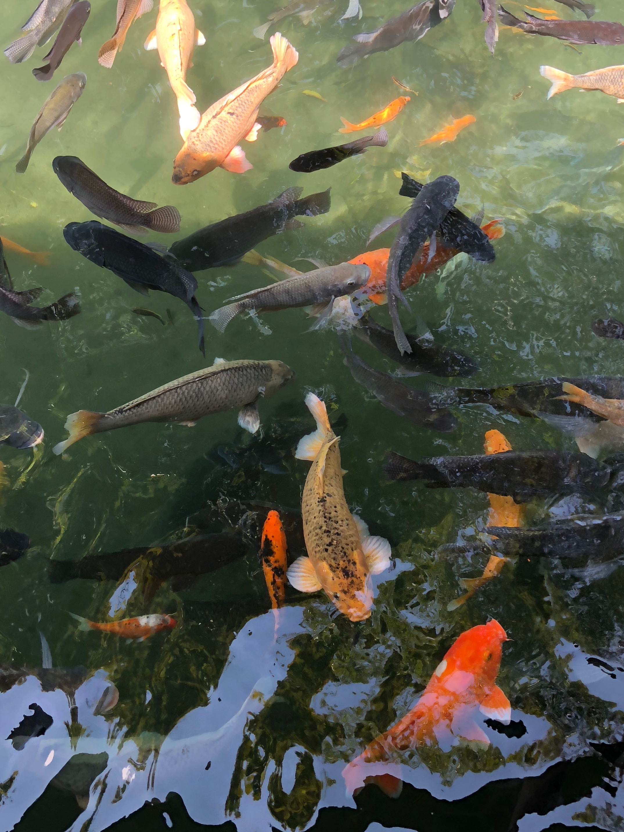 Holy carp! The pool is filled with koi and isn't a place for bathing