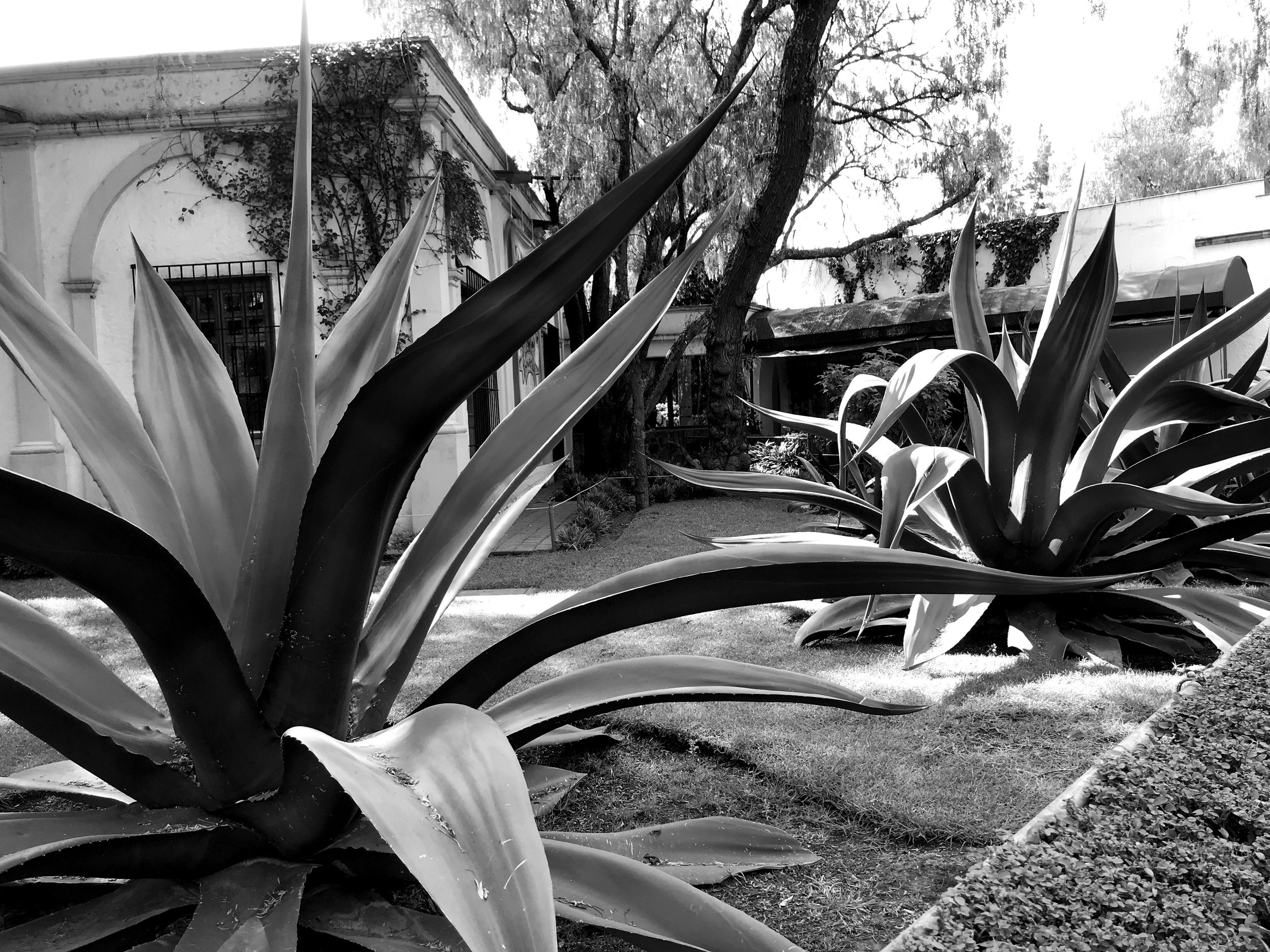 Giant blue agaves