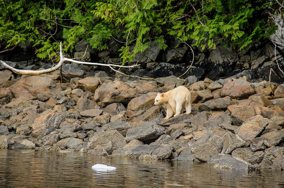 Forbes - August 13, 2019In Search of a 'Spirit Bear' in British Columbia's Great Bear RainforestREAD ARTICLE >>The wet clouds hang low, sprinkling a light mist down upon the lush valley. The pine trees stand up straight and tall on the hillsides, row by row climbing towards the summit. The river, slicing through it all, is rocky and shallow, the occasional big pool hidden around a corner or behind a patch of rocks. I sit in my kayak, gliding downstream with the current, taking it all in.