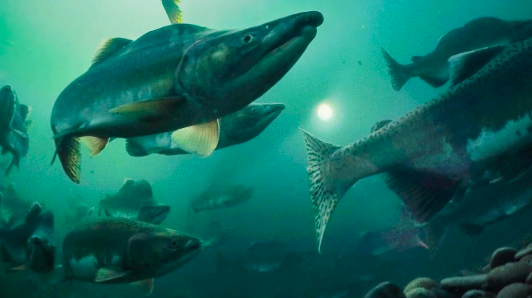 """Daily Beast - September 22, 2019Snorkeling with Salmon is Your Next Underwater Adventure READ ARTICLE >>Desperate to swim with a spawning salmon, I fling myself into the Kispiox River even though the fish are late and haven't been seen yet this year. They don't call this murky, winding waterway the """"hiding place"""" for nothing. Before I can search the shockingly cold water for fish, I call out for a lifejacket to go with my ill-fitting wetsuit, foggy mask and wobbly snorkel."""