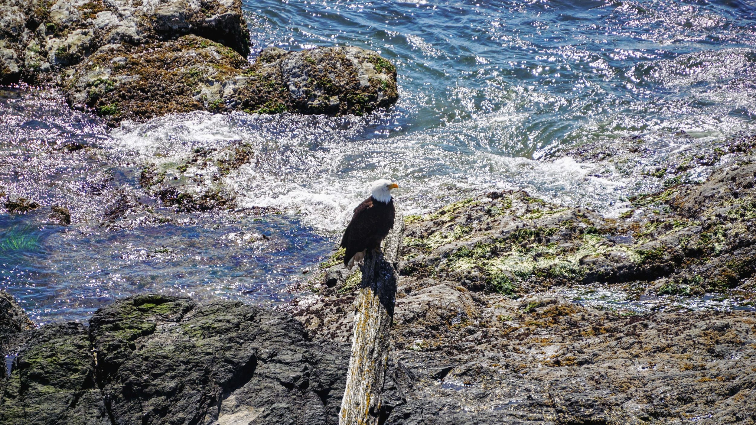 Bald Eagle taking a rest at the shoreline of Cattle Point