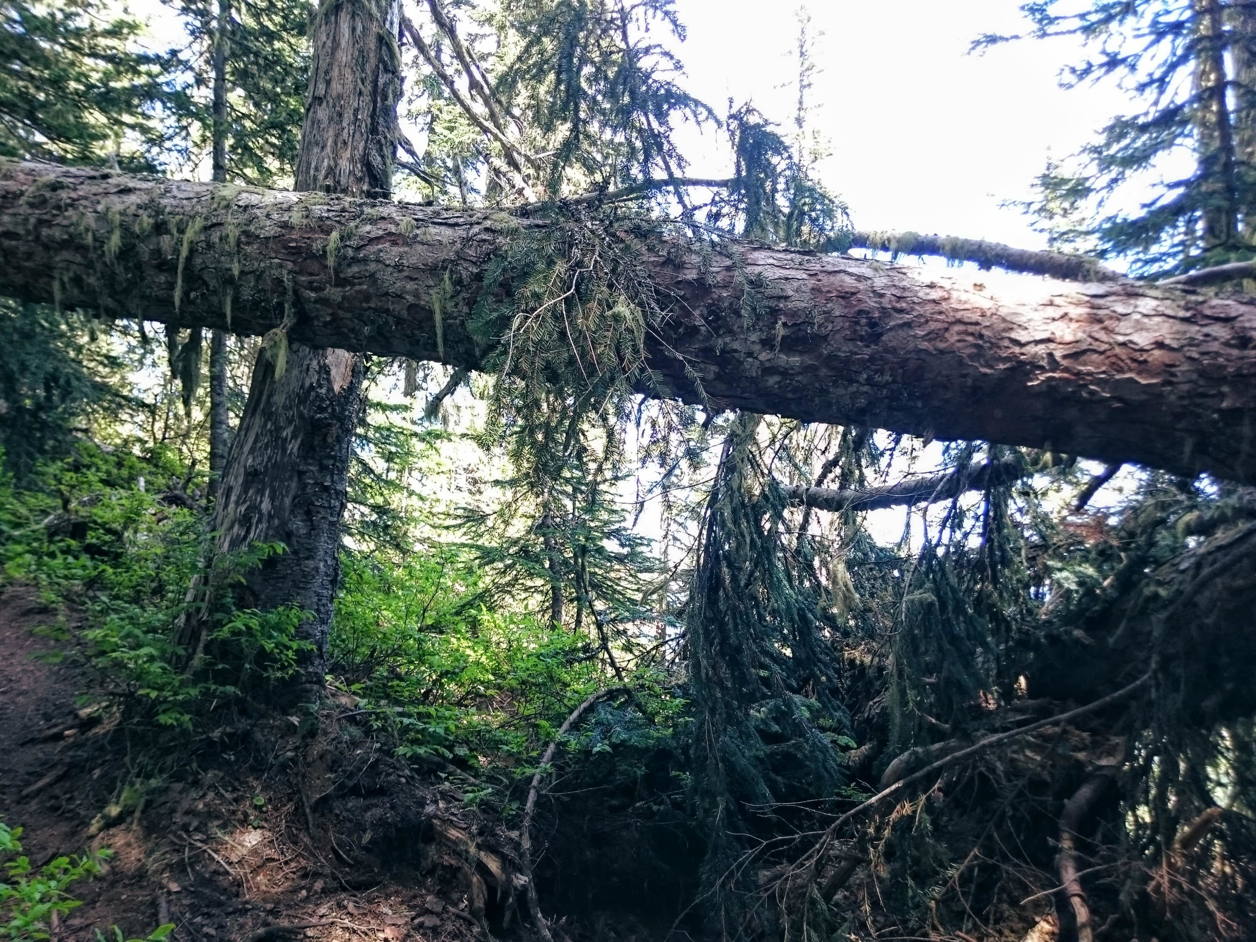 Downed Trees on High Rock Trail
