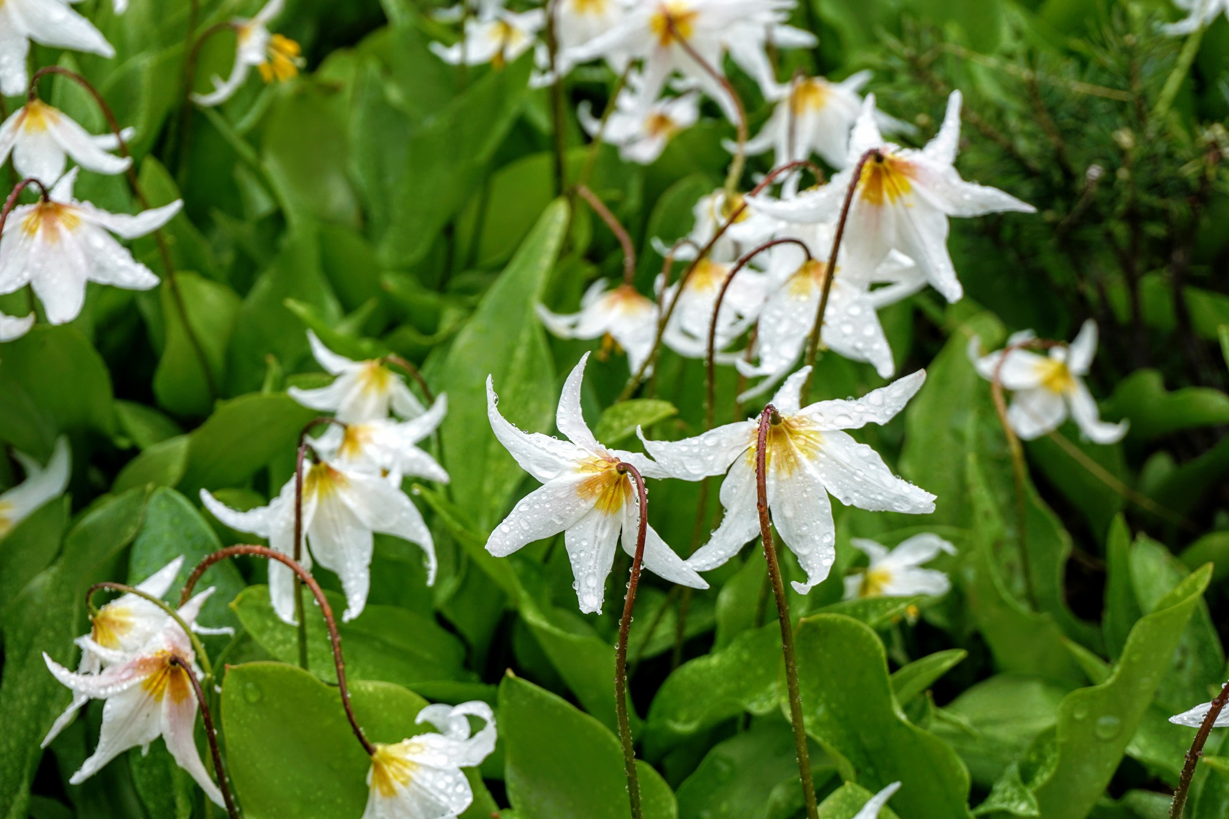 Avalanche Lilies at Summit Lake