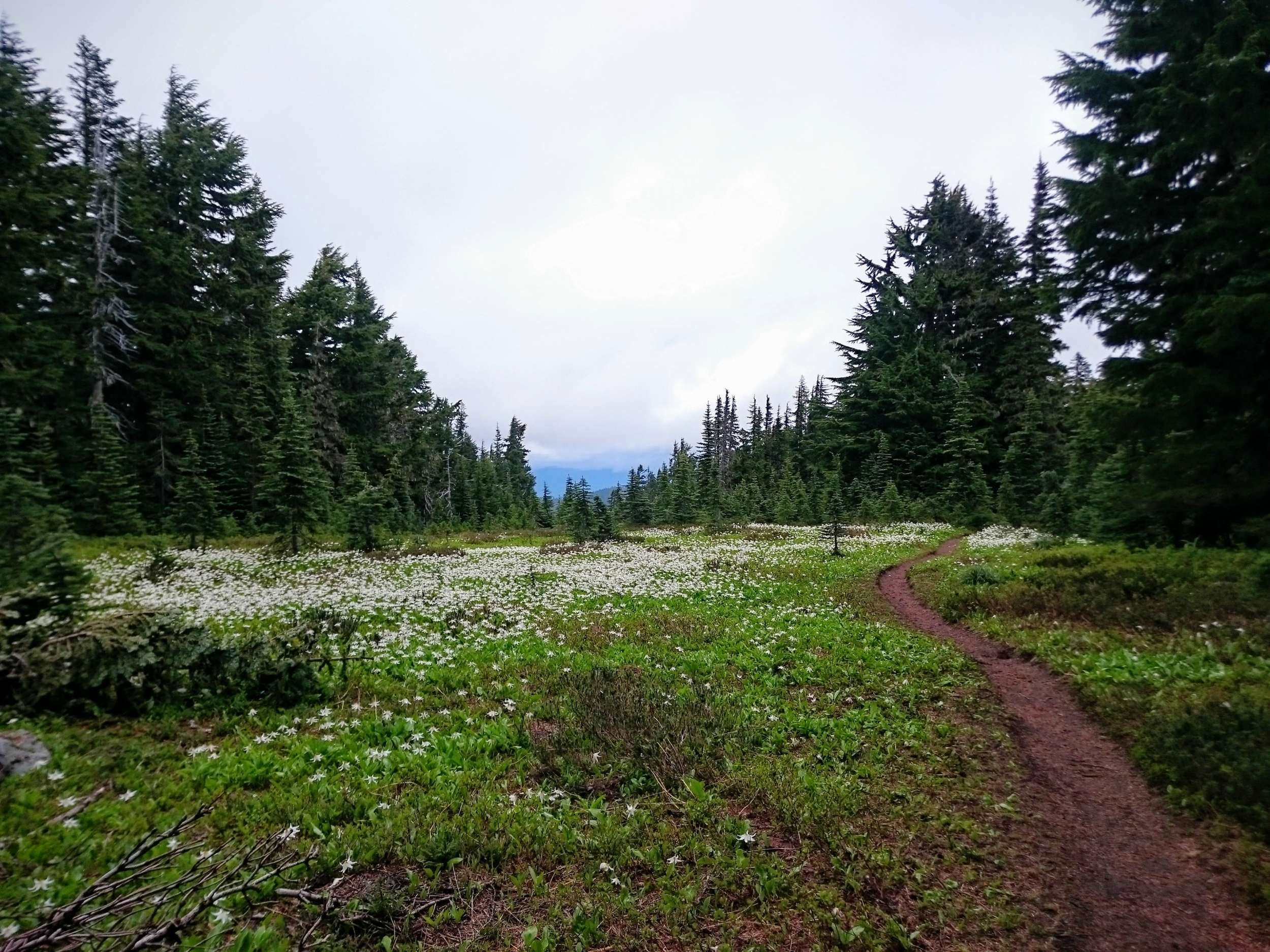 Avalanche Lilies Along Summit Lake Trail
