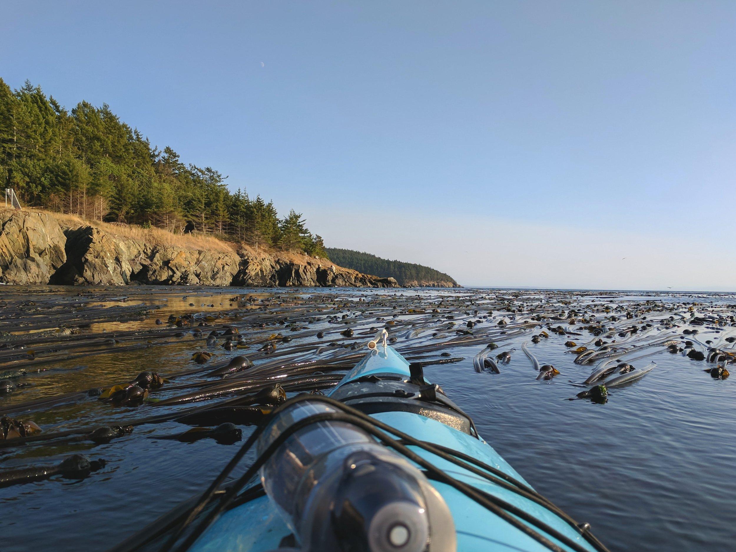 Kayaking through bull kelp
