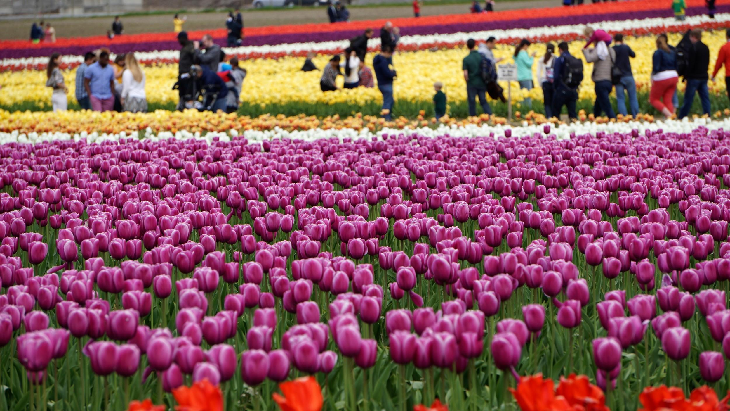 Skagit Valley Tulip Festival - Pacific North Wanderers.jpg