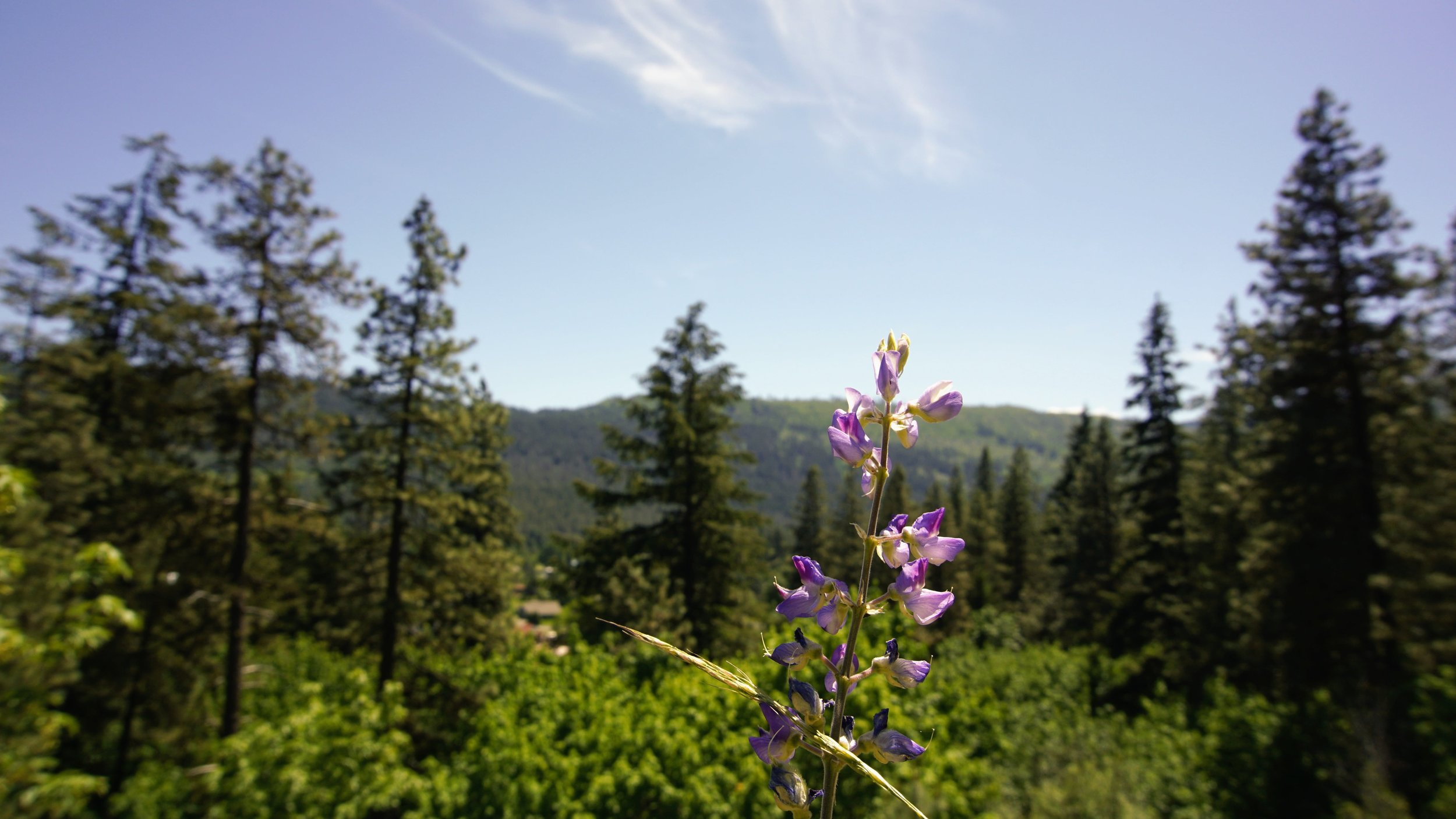 Flowers along Icicle Ridge Trail - Pacific North Wanderers.JPG