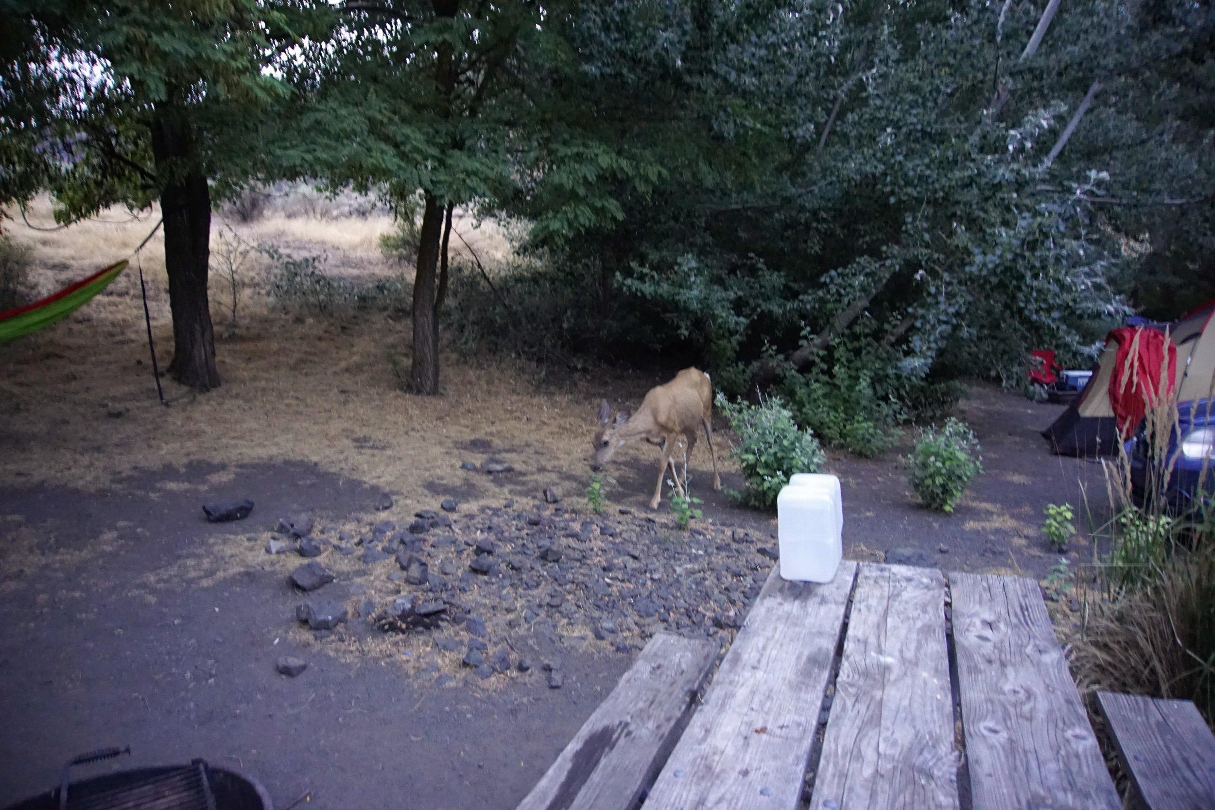 Deer in campsite