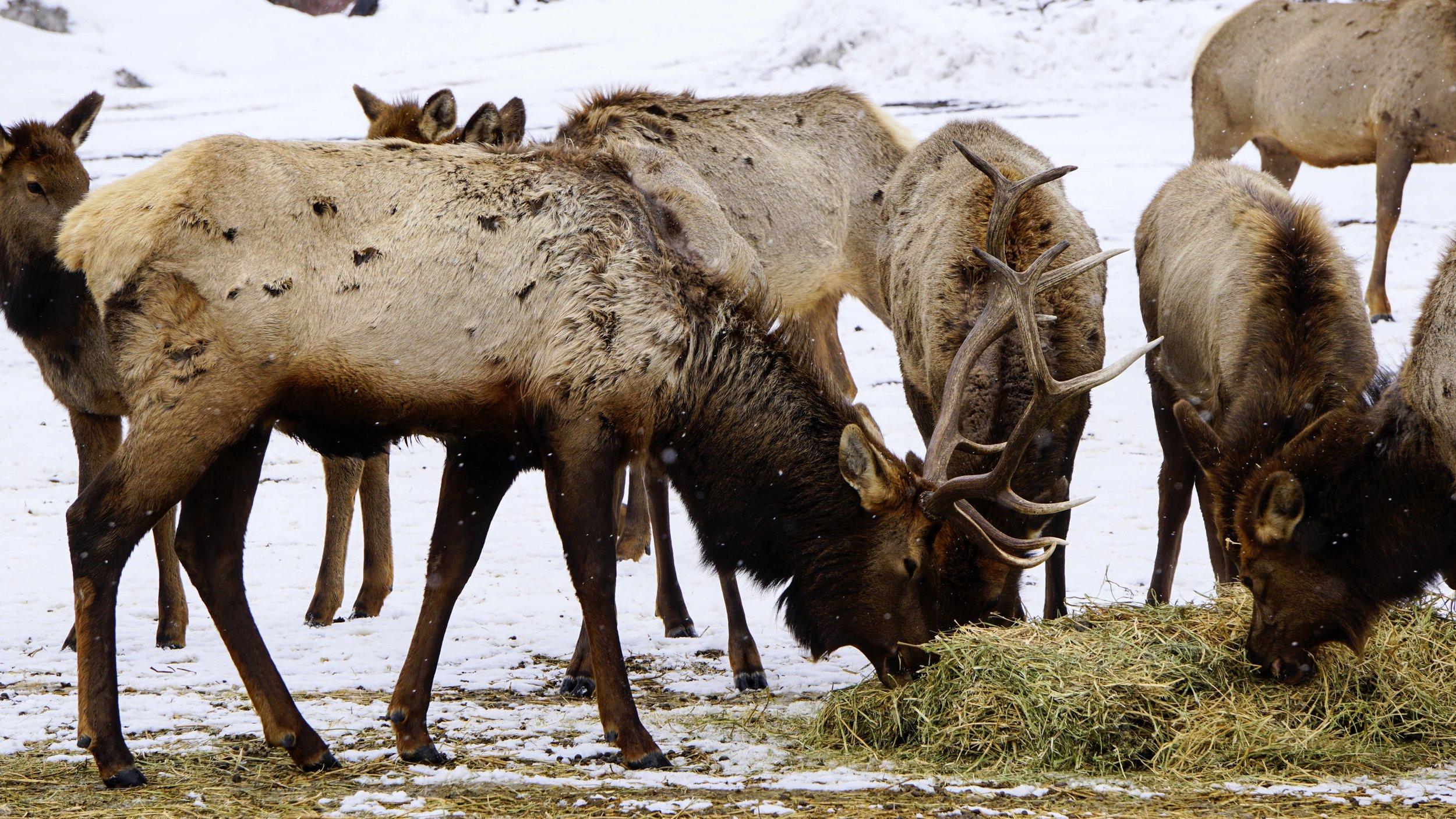 Rocky Mountain Elk at Oak Creek Wildlife Area