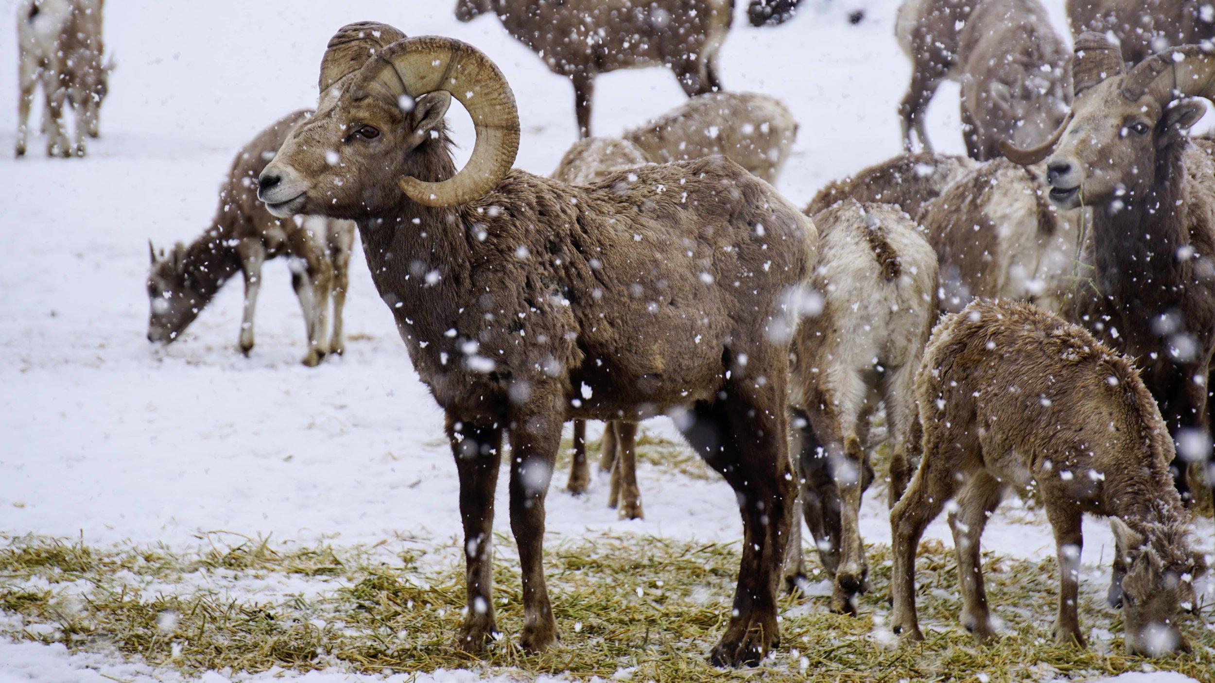 California Bighorn Sheep at Cleman Mountain Site