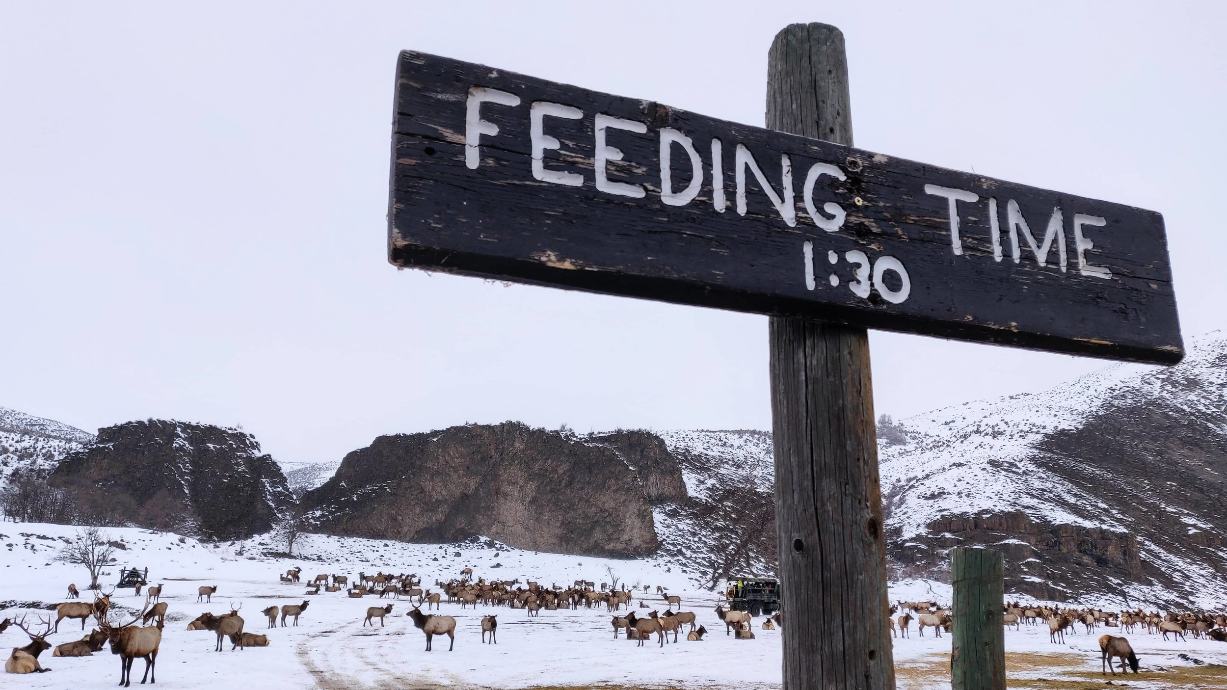 Feeding time is 1:30 for the elk