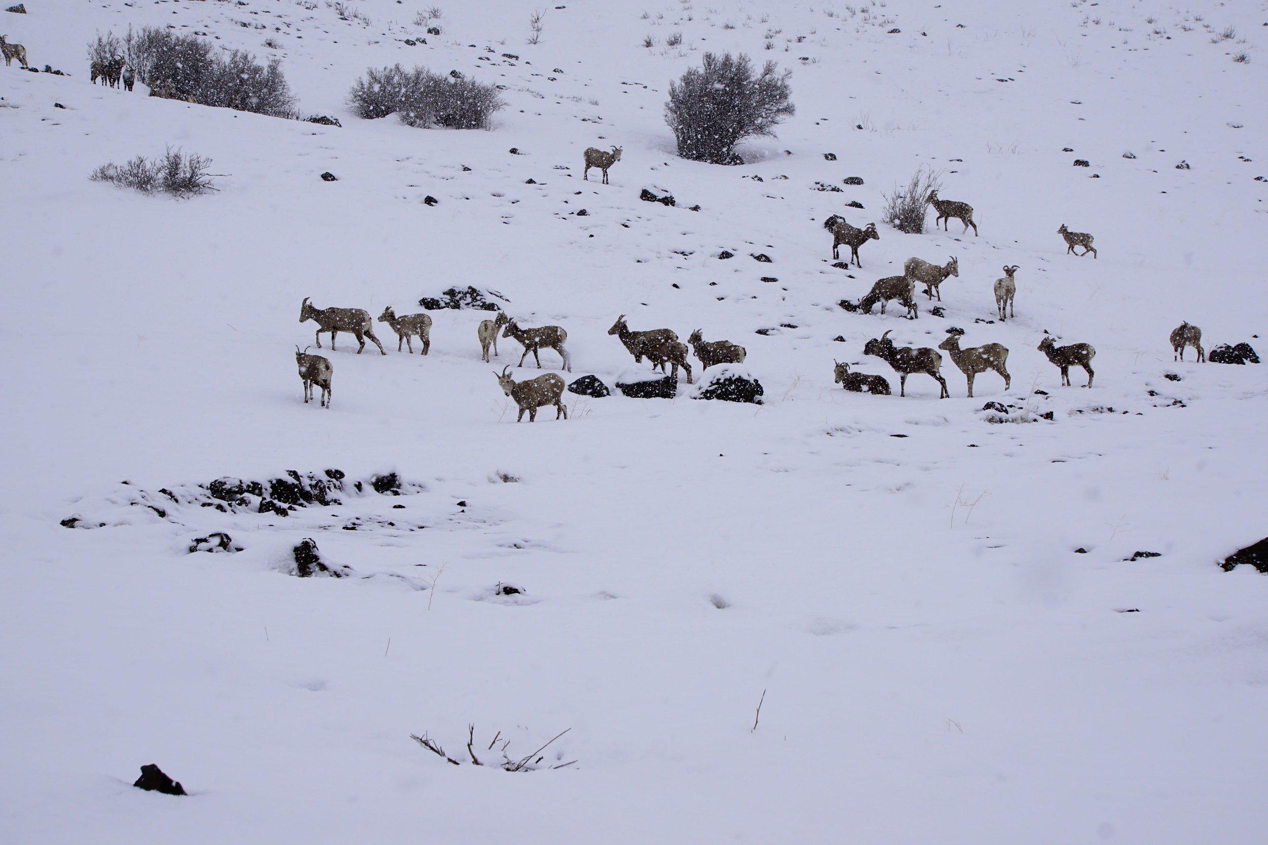 Sheep Feeding 06.JPG