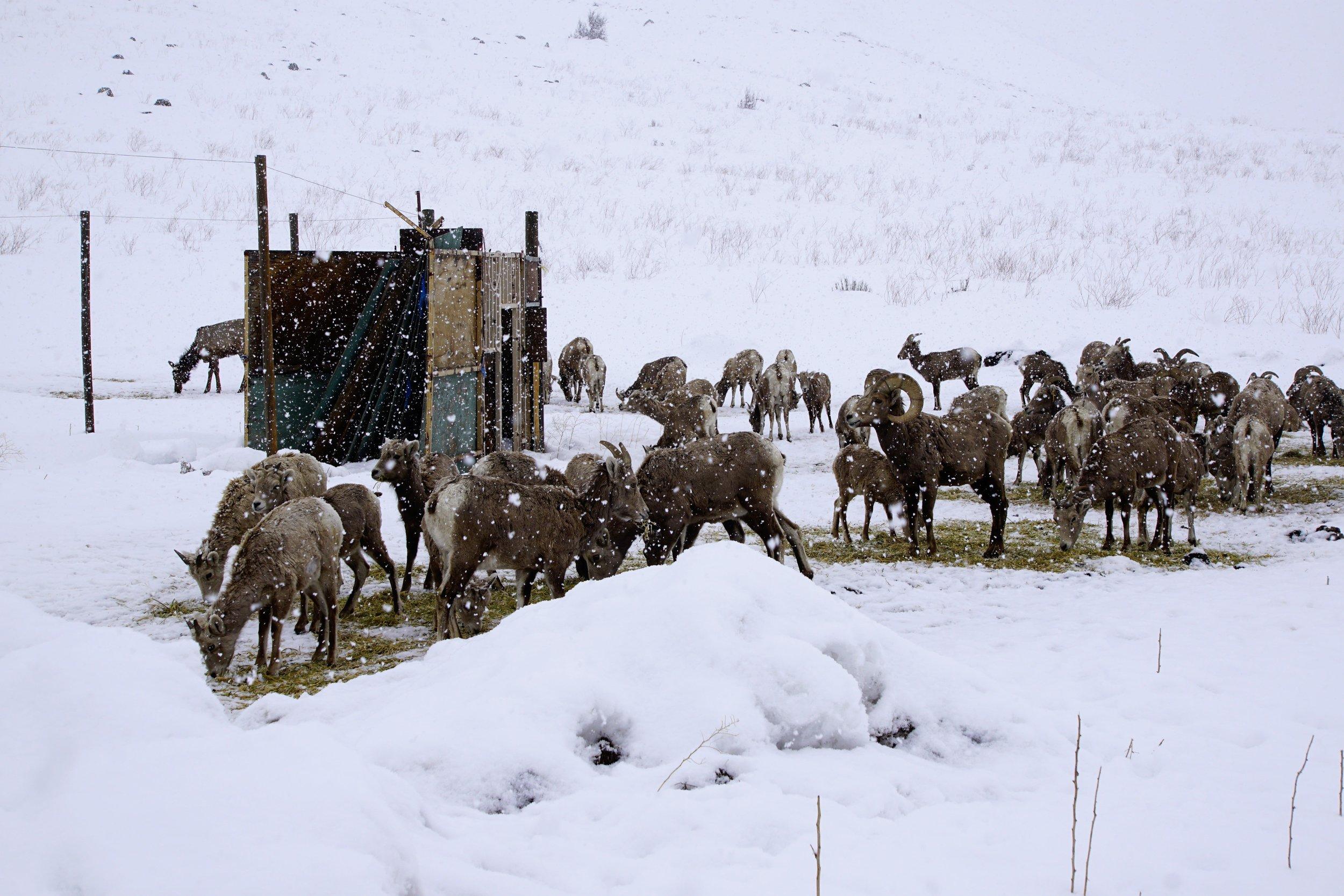 Sheep Feeding 02.JPG