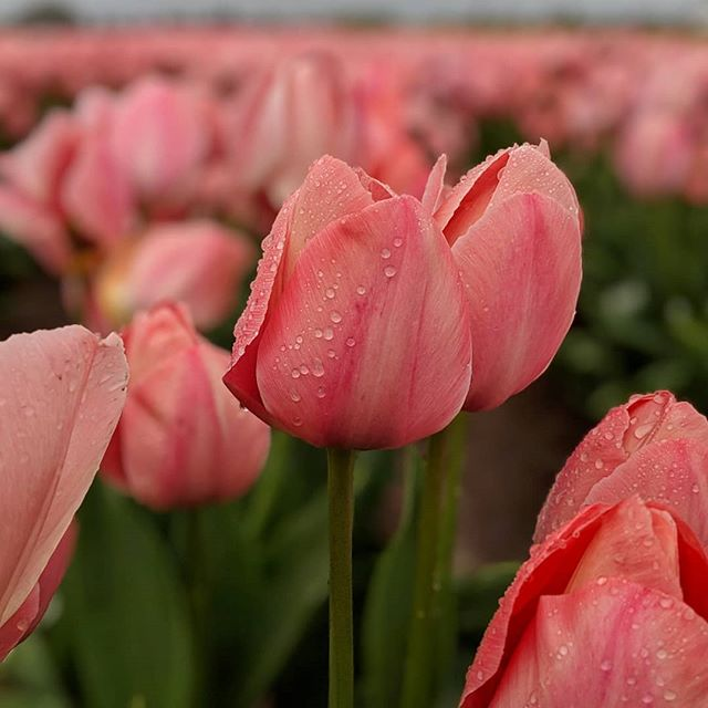 Wooden Shoe Tulip Festival, worth the drive 🌷🌷🌷#pnw #pnwanderers #woodenshoetulipfestival🌷🌷🌷💐🥀 #springinthepnw🌷