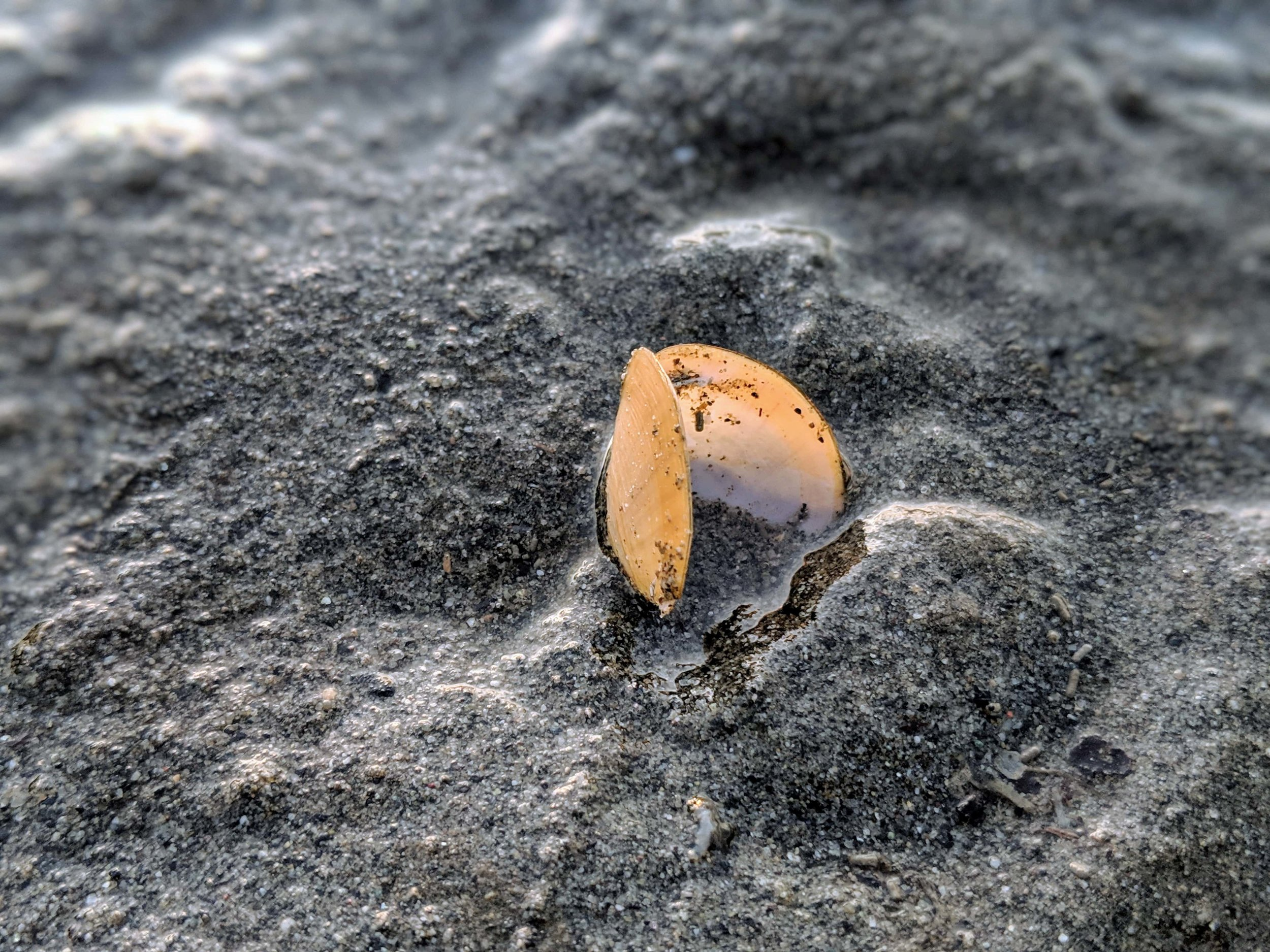 Seashell at Dash Point State Park.jpg