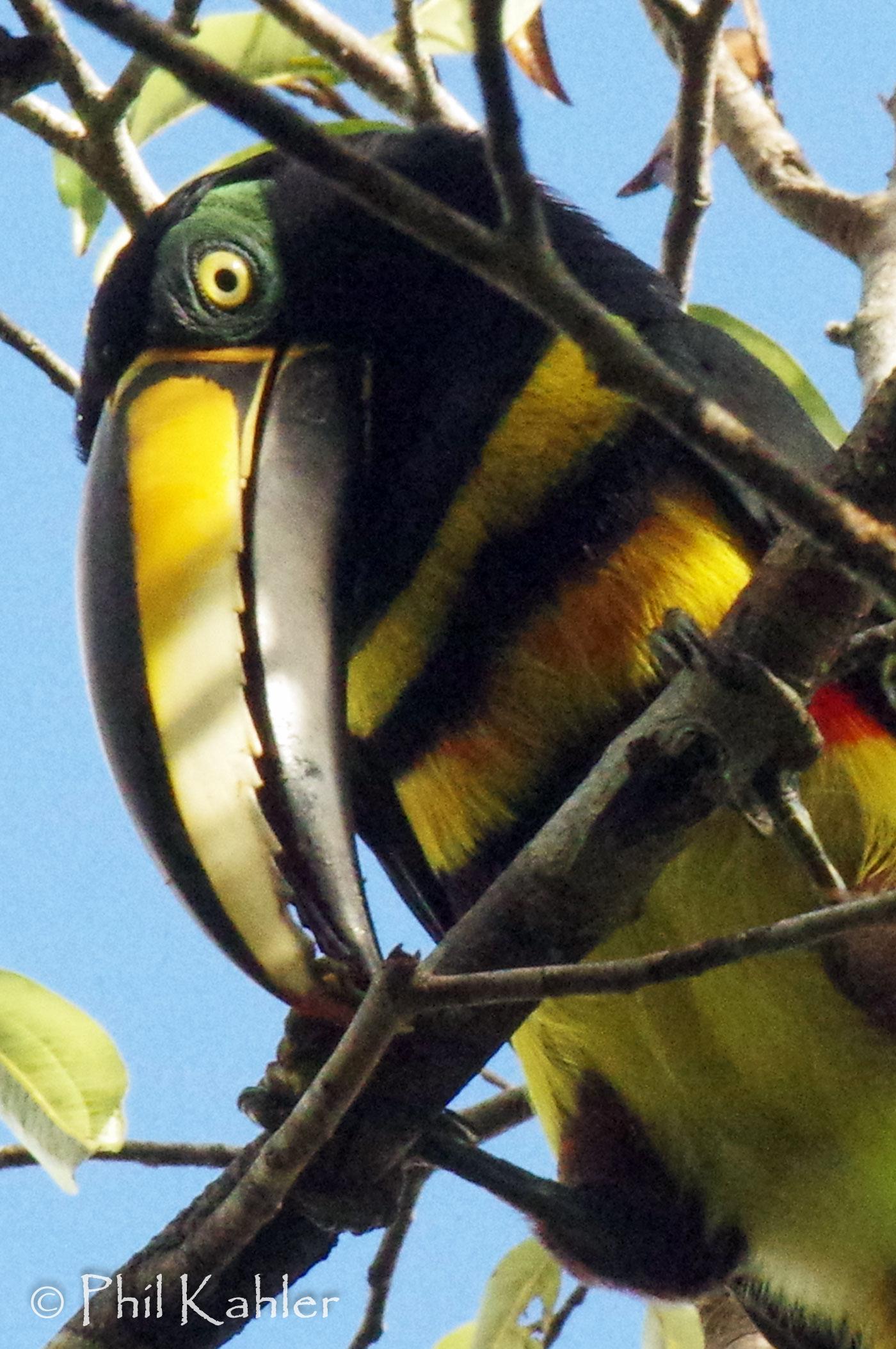 Many-banded_Aracari-20-130.jpg