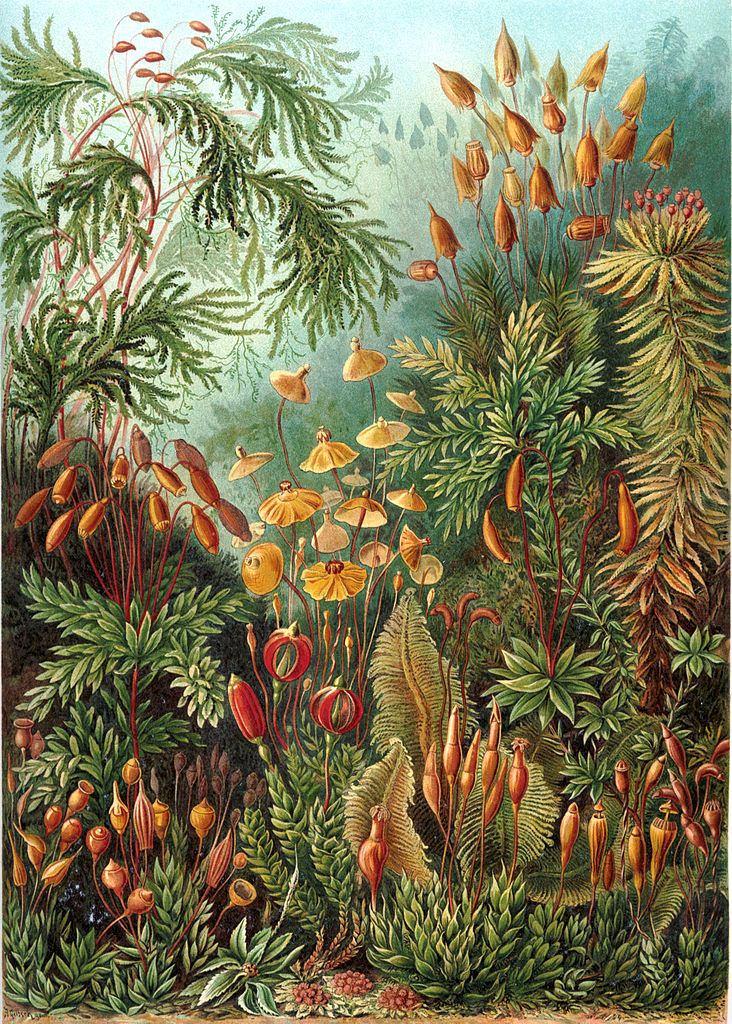 Plate 72 from Ernst Haeckel's  Kunstformen der Natur (1904)