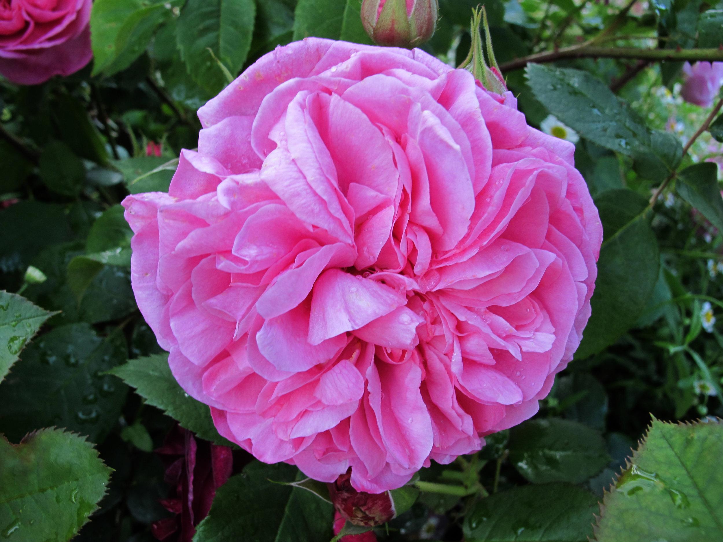 Rosa Gertrude Jekyll, Stockton On Tees