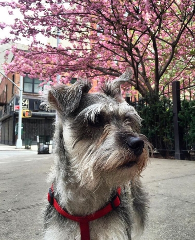 On the older side of things, this Schnauzer mix has already been around the block and then some. She's seen it all, folks. From Spring's blooming flowers to dogs sniffing each other's behinds. Despite being a little skittish (perhaps given how many rats she's seen in this city by now) Lyla sure knows how to serve a stoic smize to remind her followers that she's still got it. Follow her shenanigans on instagram @oldman_lyla.