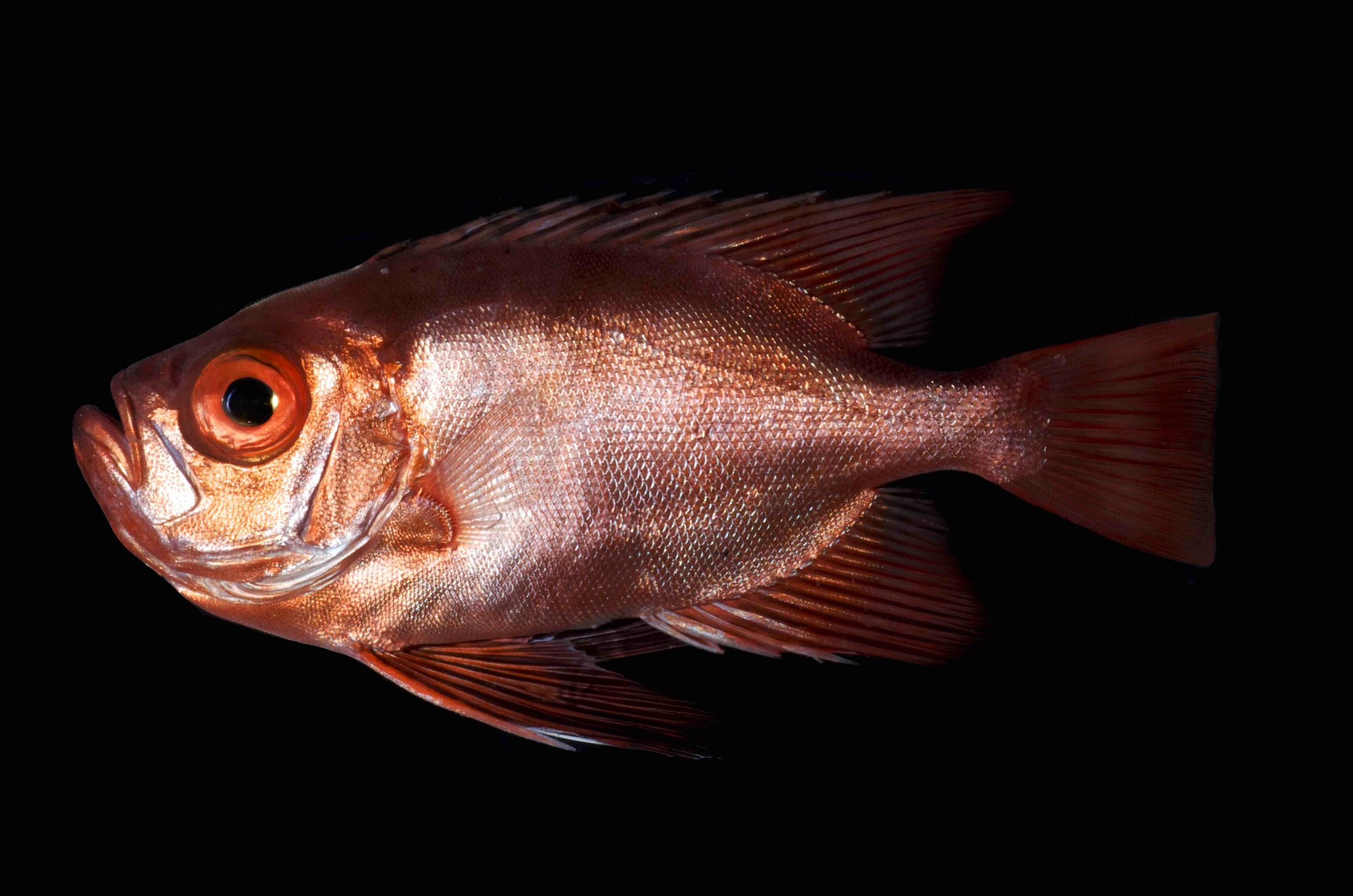 The Bulleye   Cookeolus japonicus fishes are typically found in waters deeper than 300ft.
