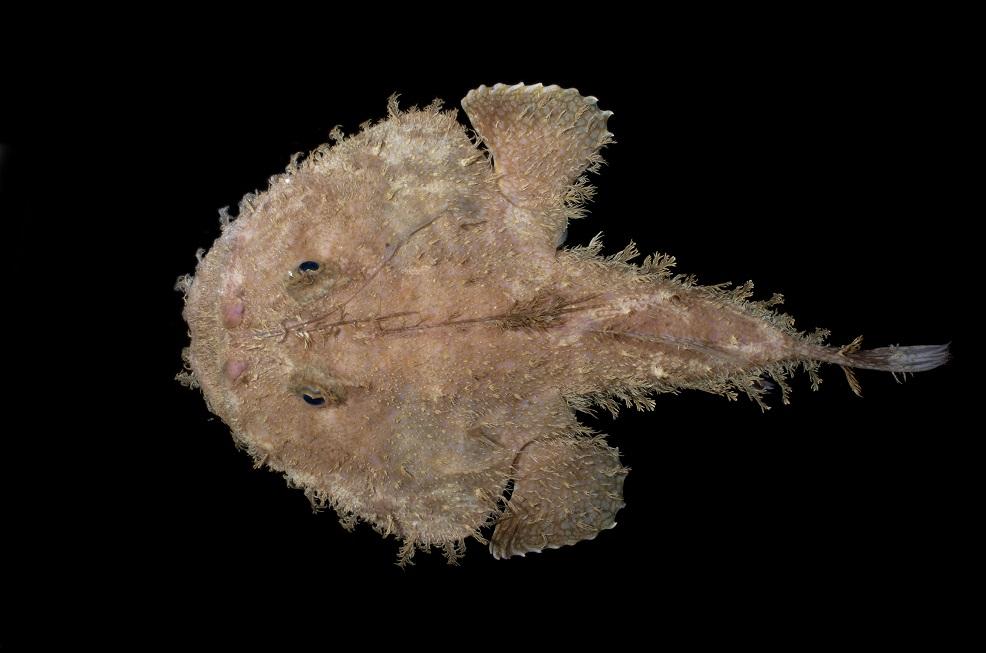 Reticulated Goosefish ( Lophiodes reticulatus )