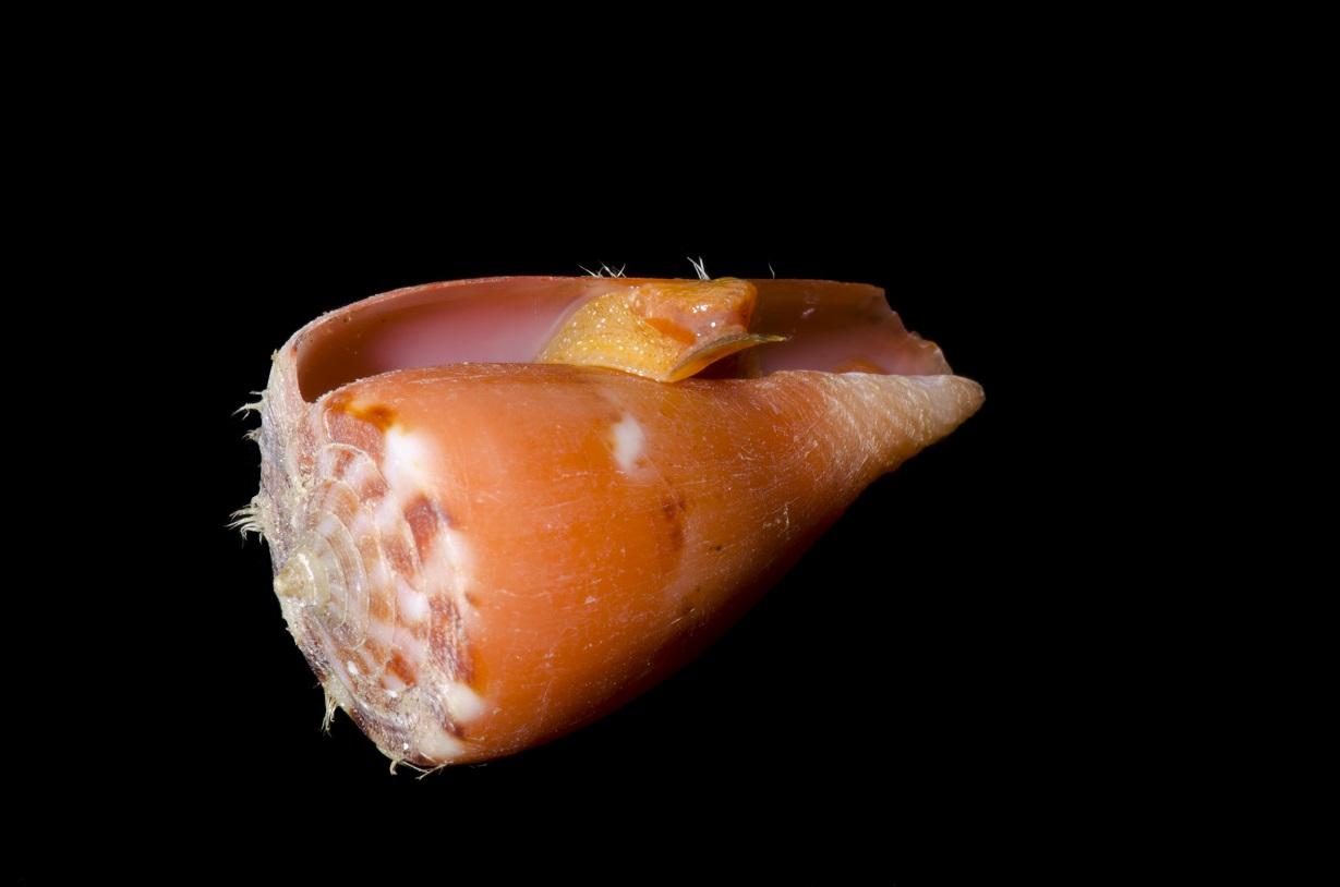 Cone Shell Conus sp.