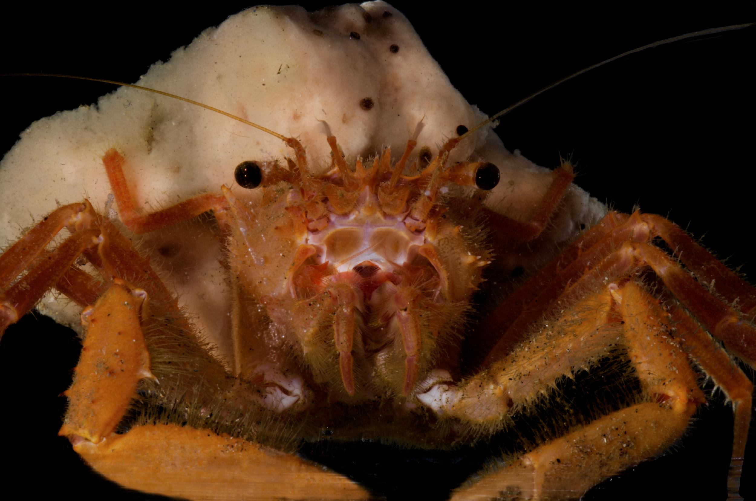 Demospongiae Crab