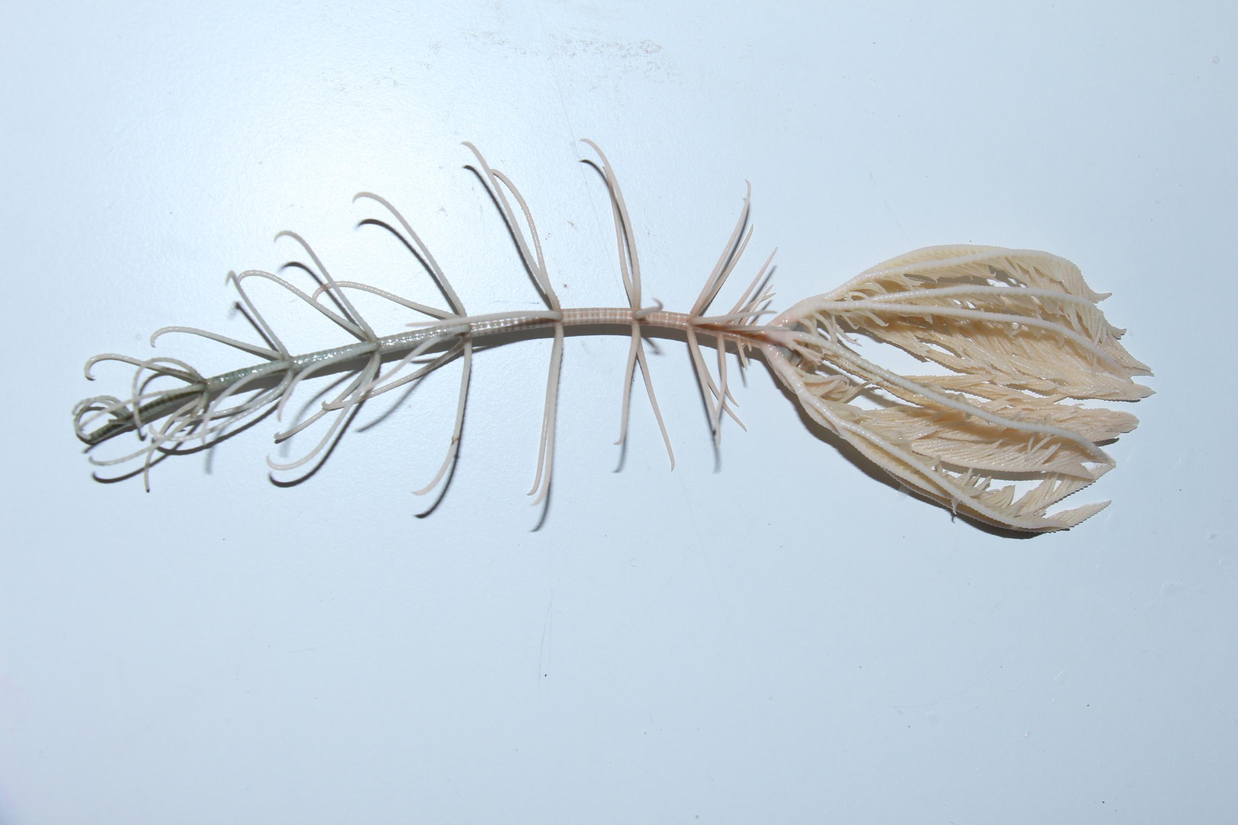 Crinoidea (536ft)