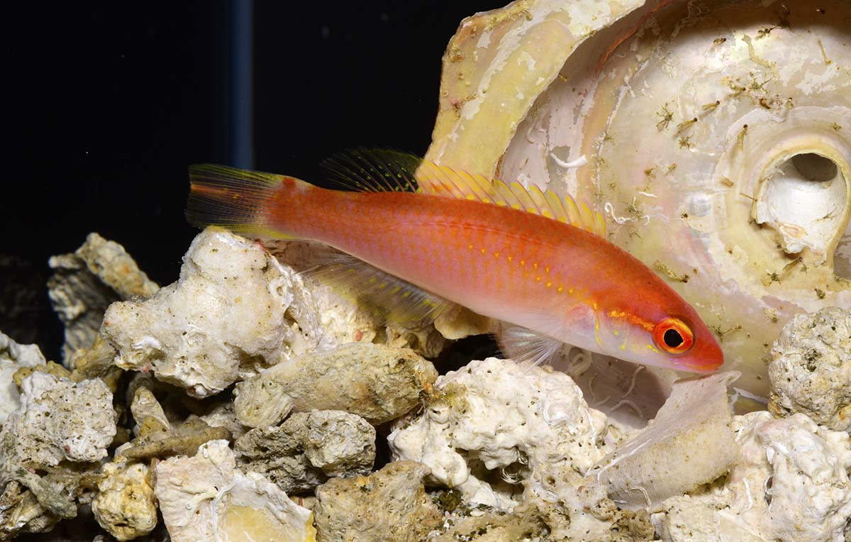 new Red Hogfish