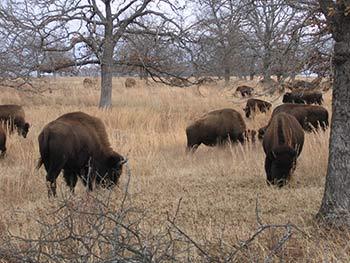 woolaroc-bison-closeup-blog.jpg