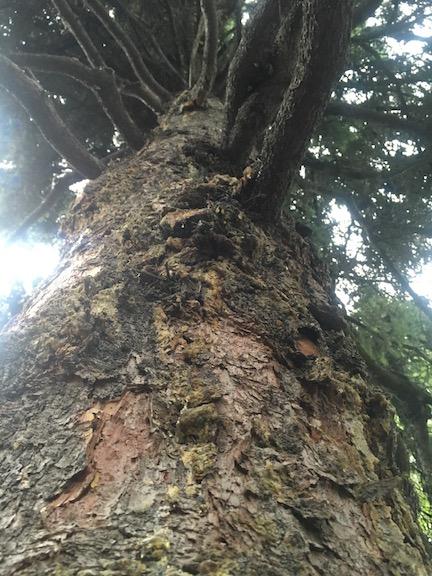 Spruce sap glue