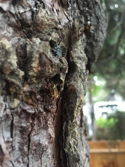 Spruce sap