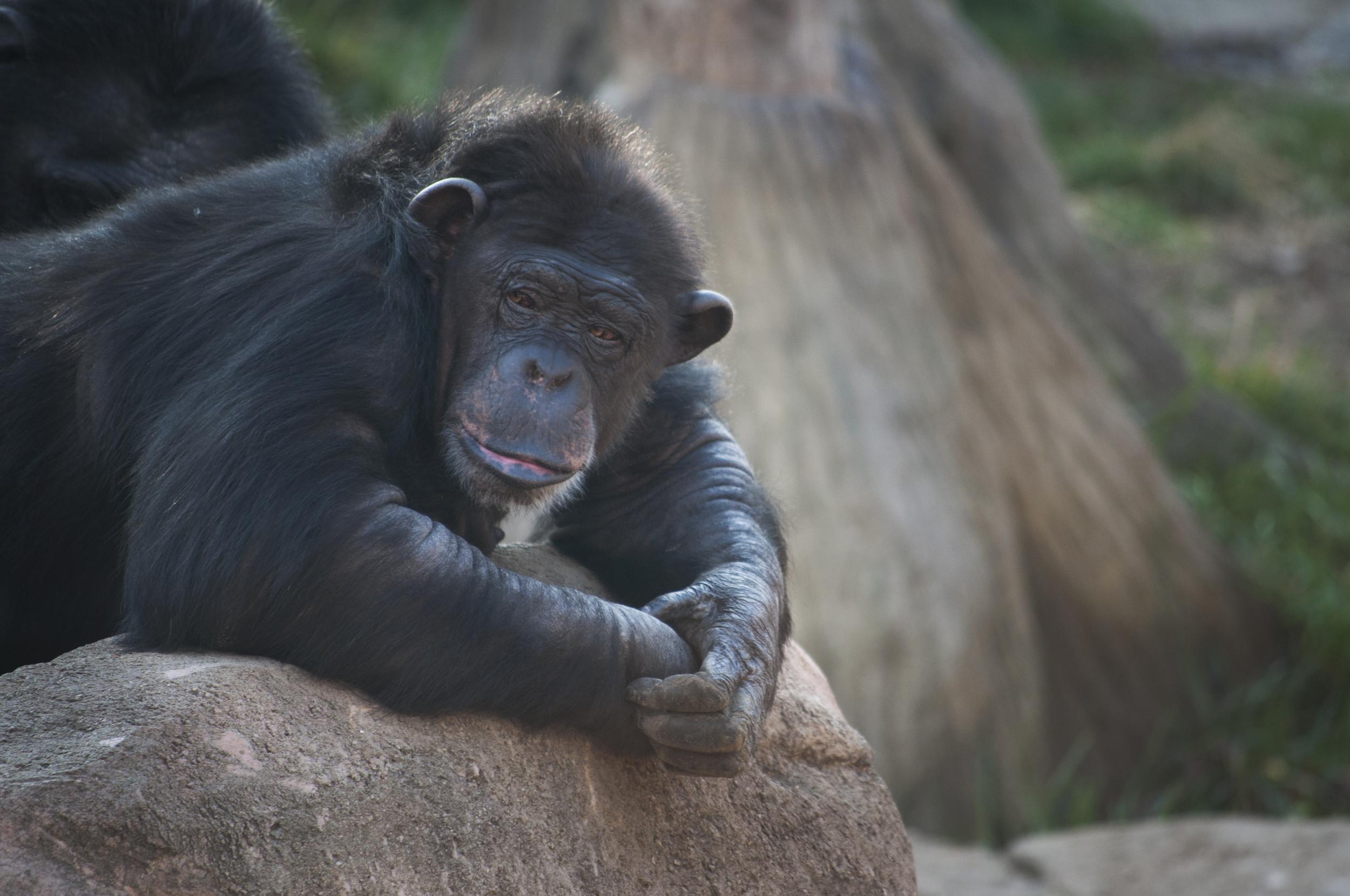 Gorilla, National Zoo