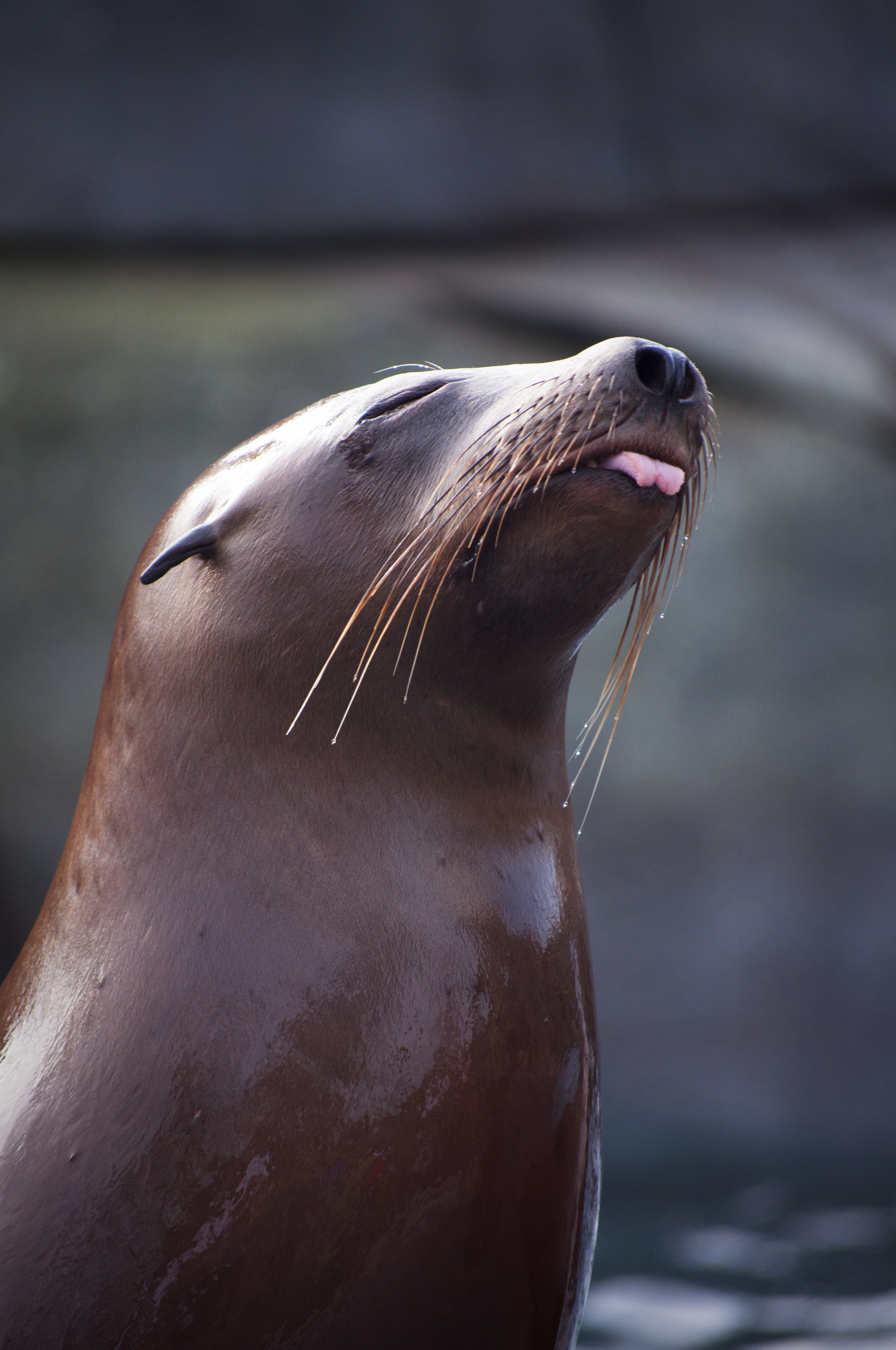 Sea lion, St. Louis Zoo