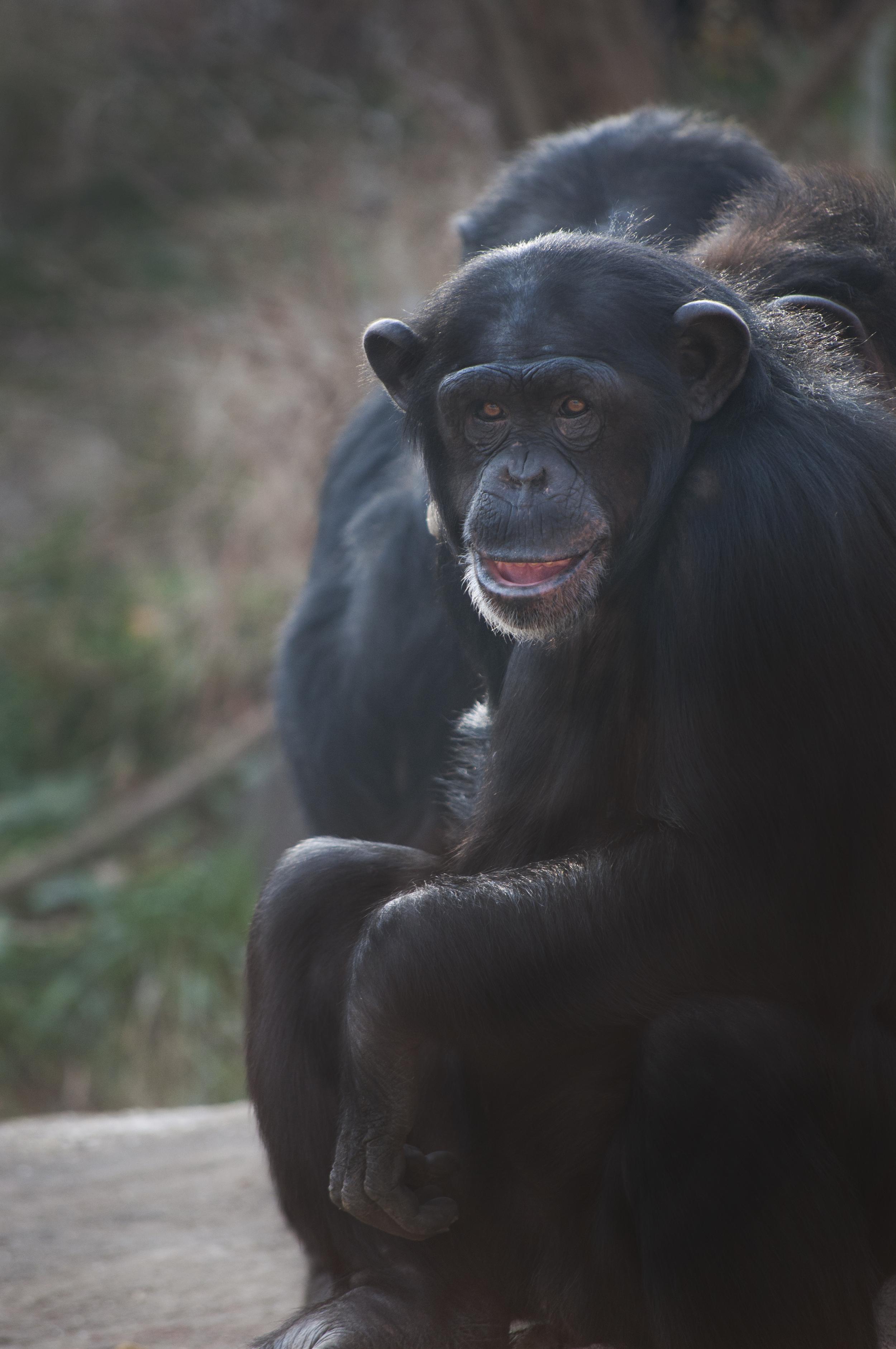 Chimpanzee, National Zoo
