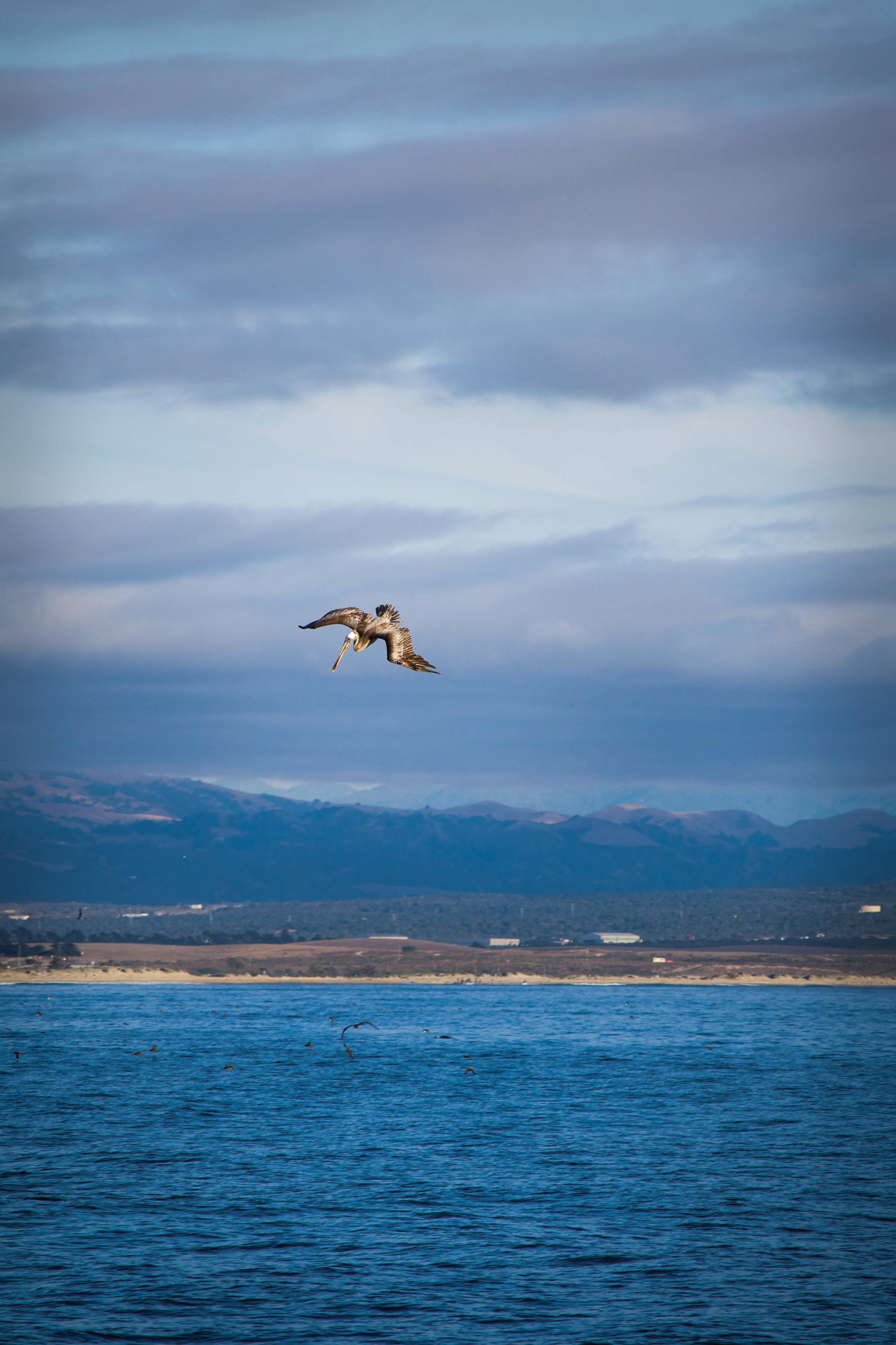 Pelican in Big Sur, California