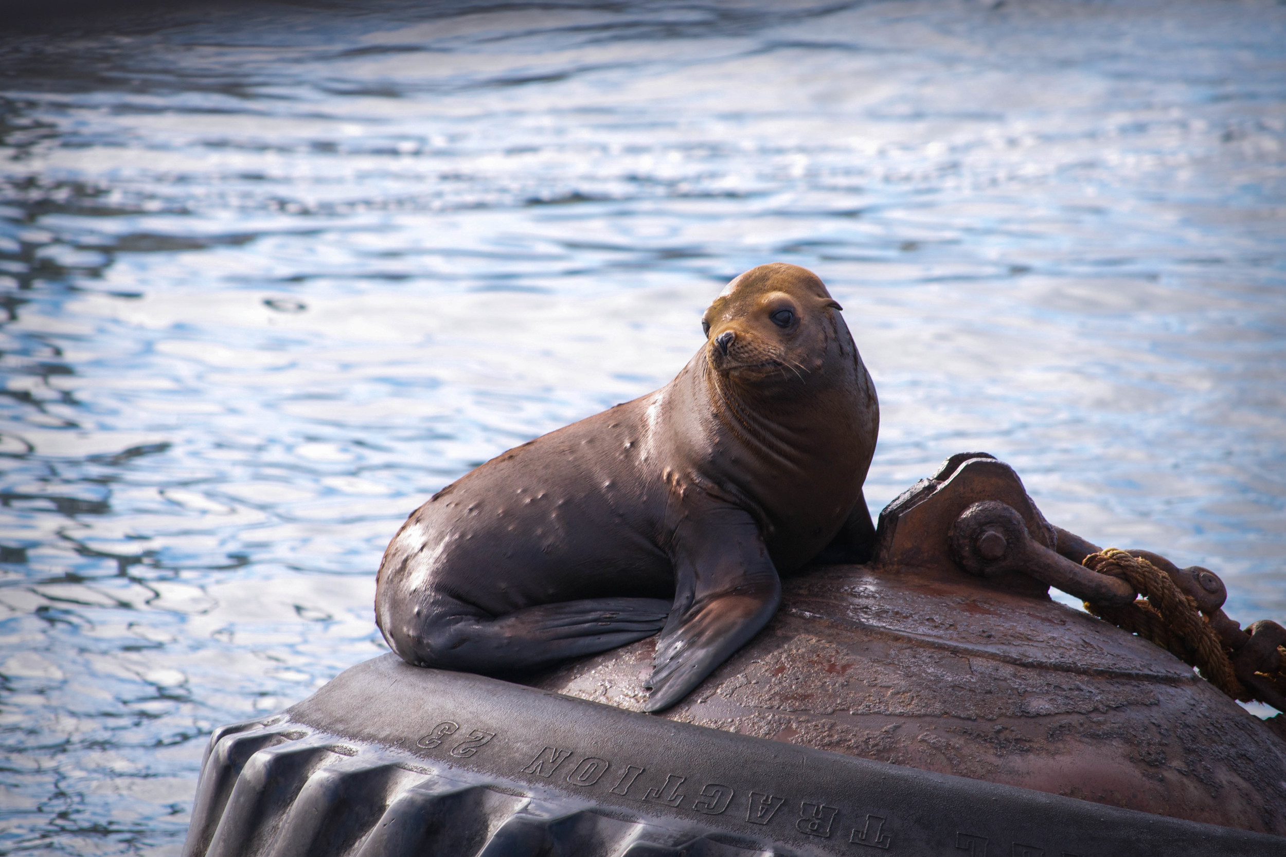 Wild Sea Lion, Monterey Bay California